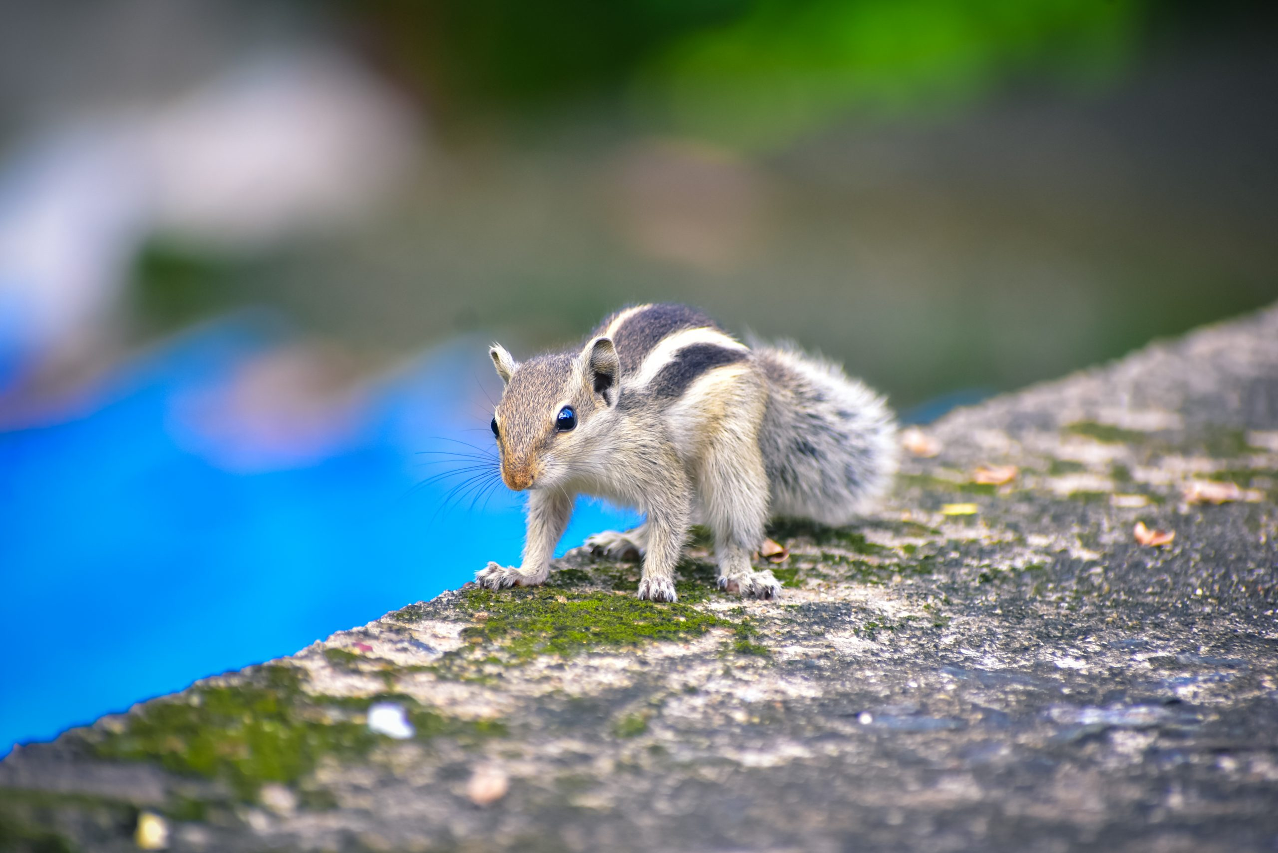 Eastern Chipmunk in a Cement On Focus