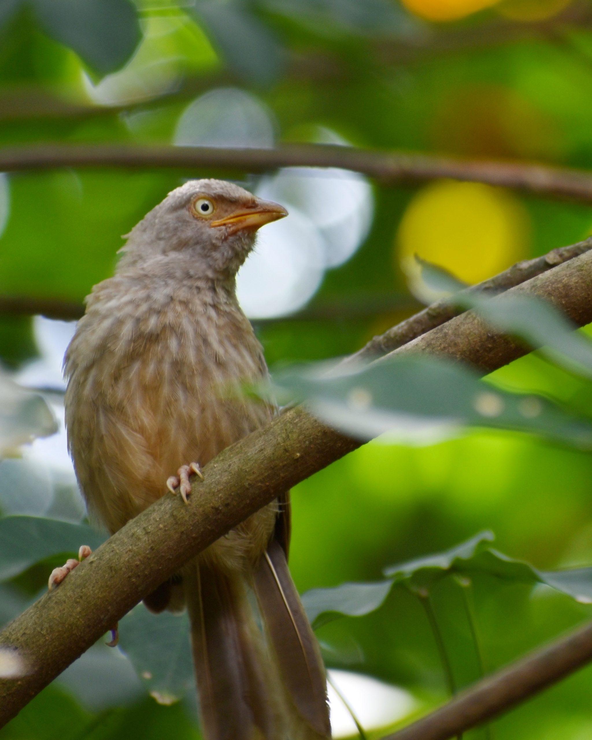 Jungle Babbler in Tree Branch on Focus