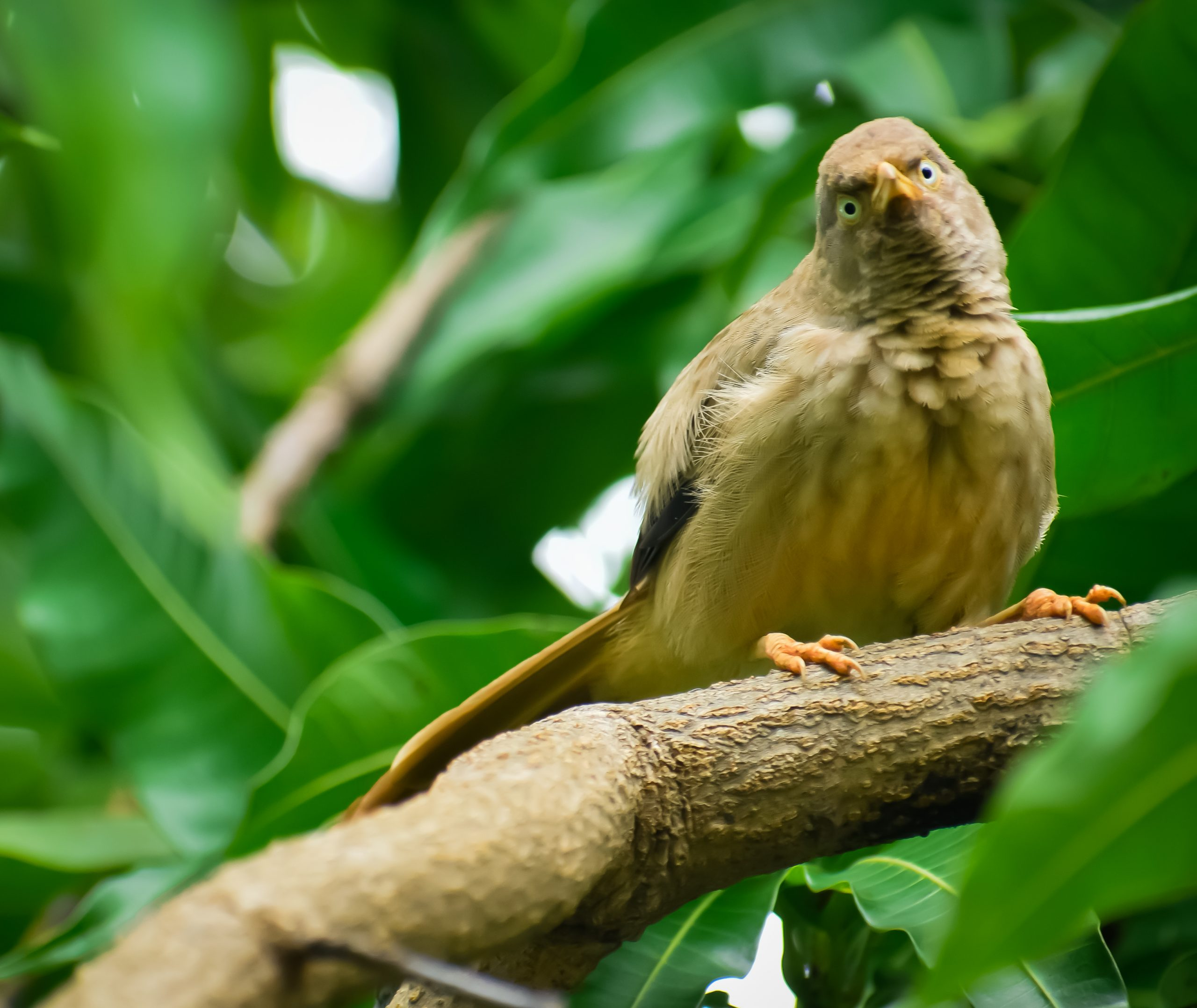 Jungle Babbler sitting on the Branch of Tree