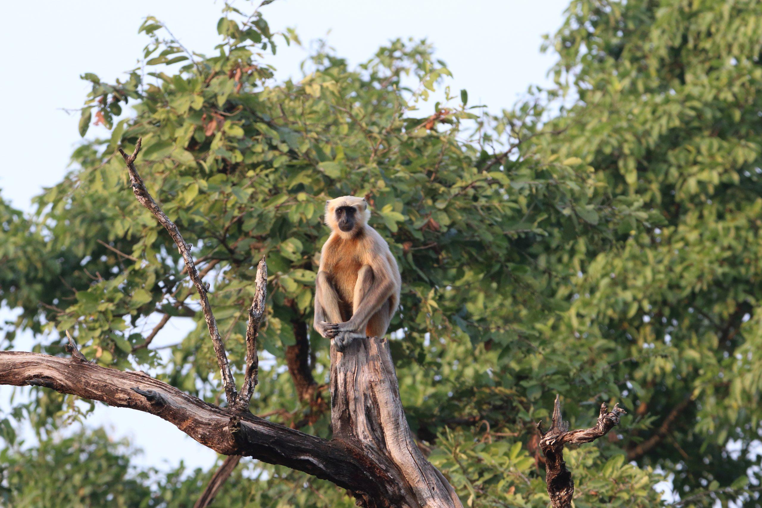 Langur on tree
