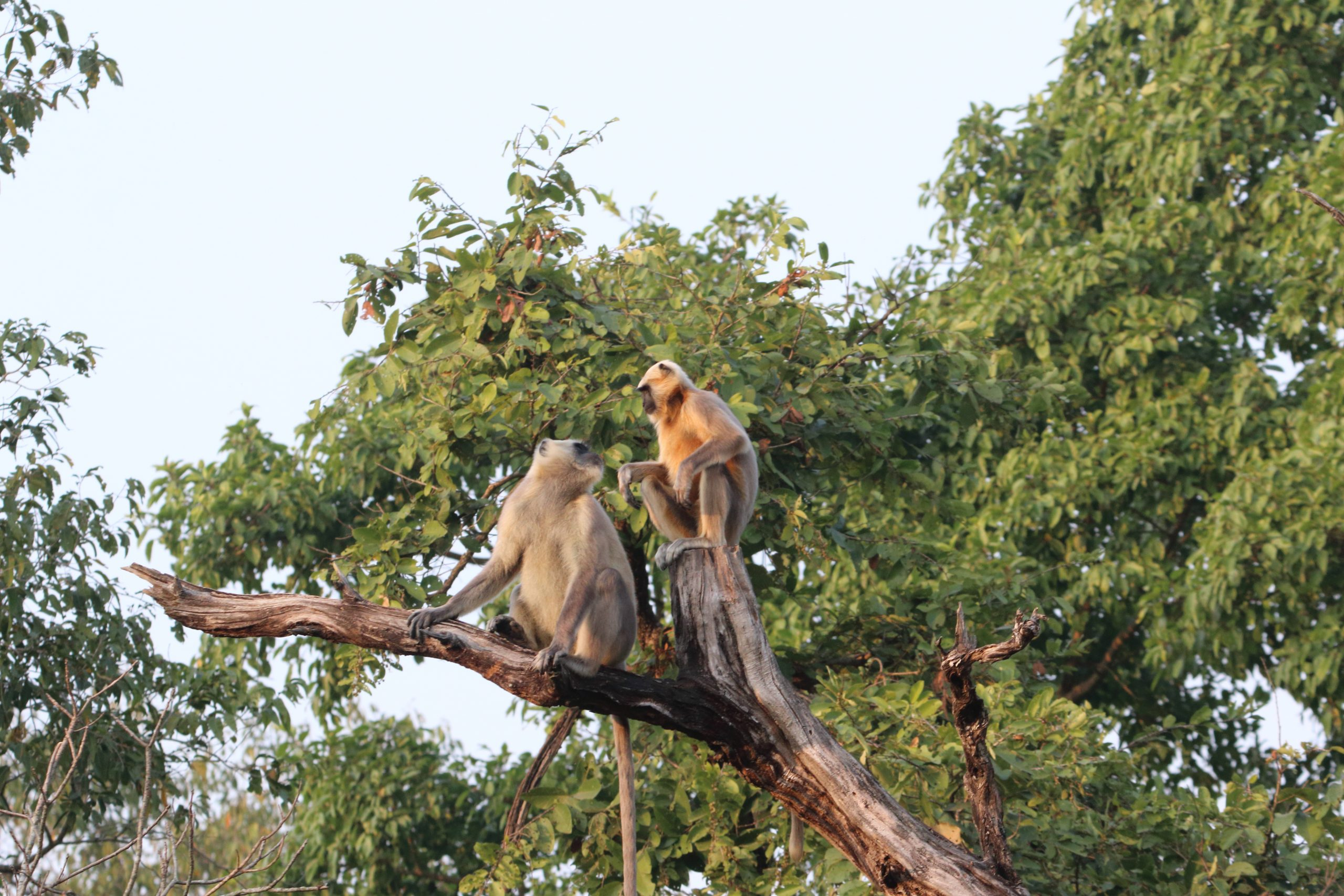 Langurs in the forest