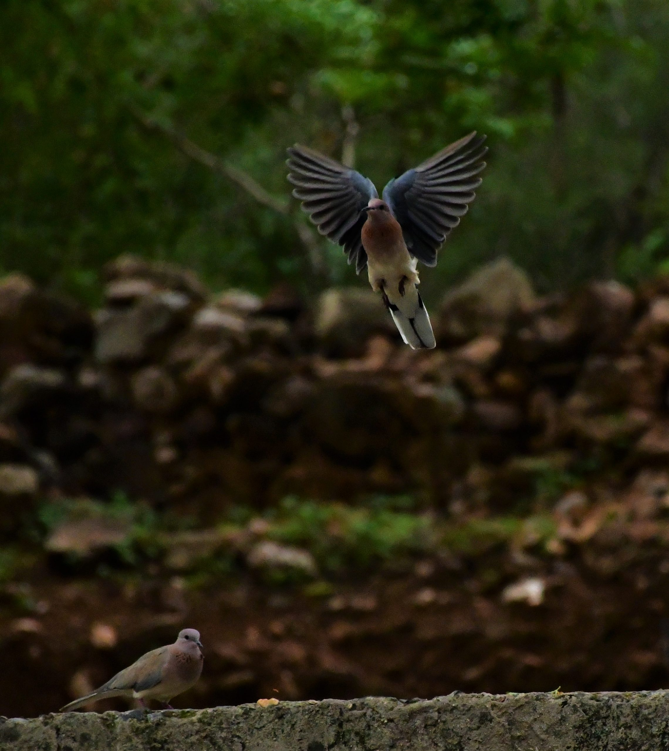 Laughing Dove bird Flying