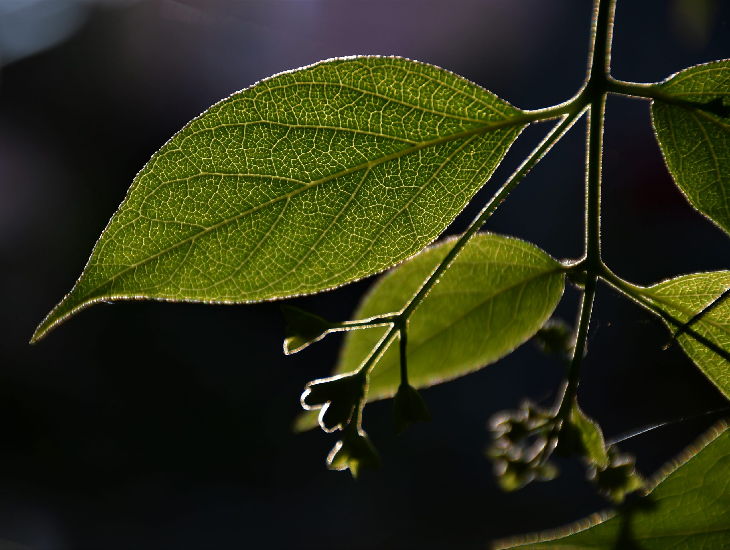Leaf of Night-Flowering Plant in sunlight