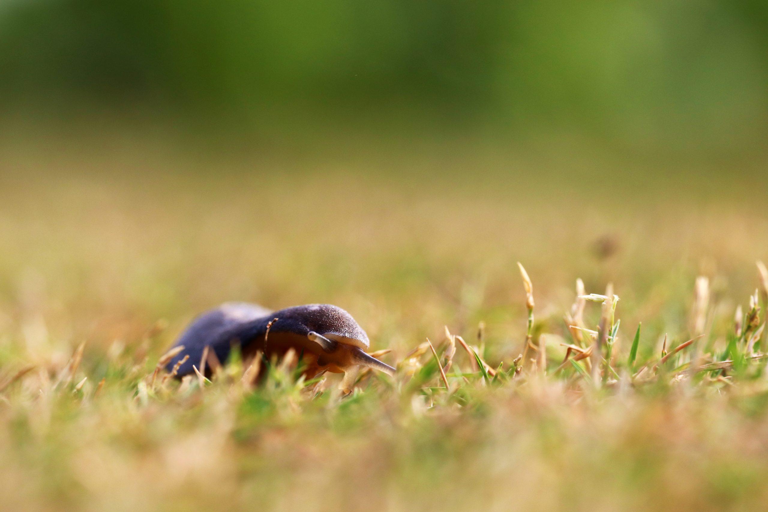 Slug crawling on the grass