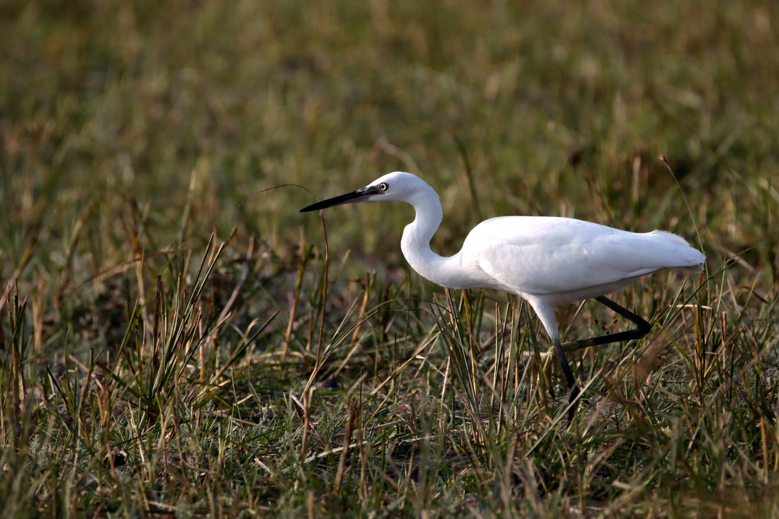 Little egret on grass land