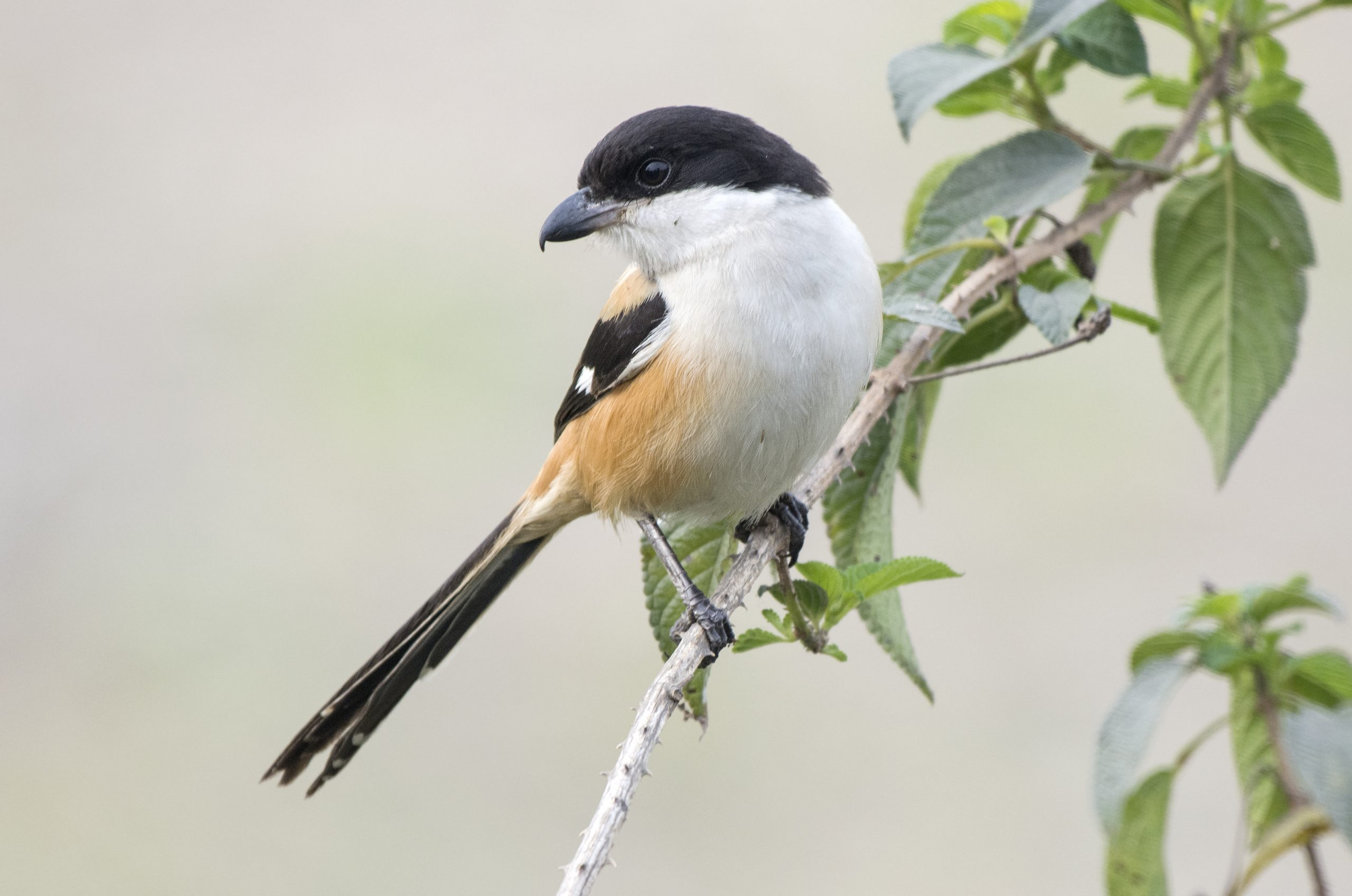 Long-tailed shrike sitting on a branch.