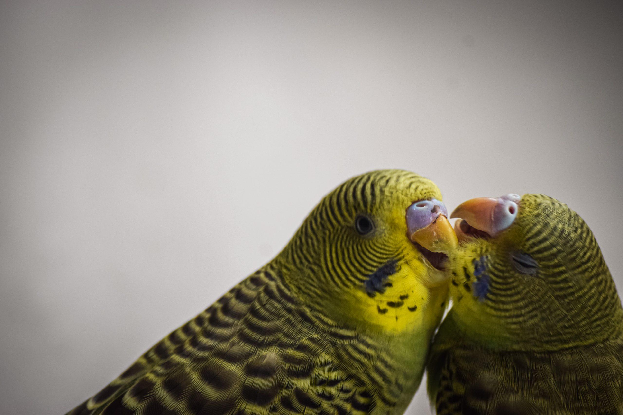 Affectionate lovebirds