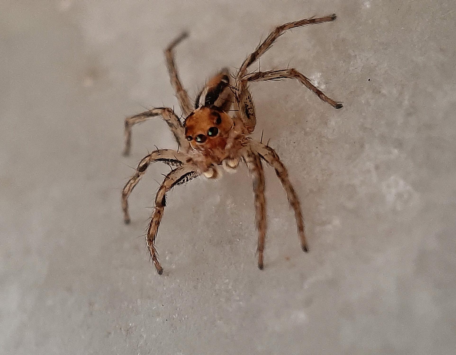 Macro shot of a jumping spider