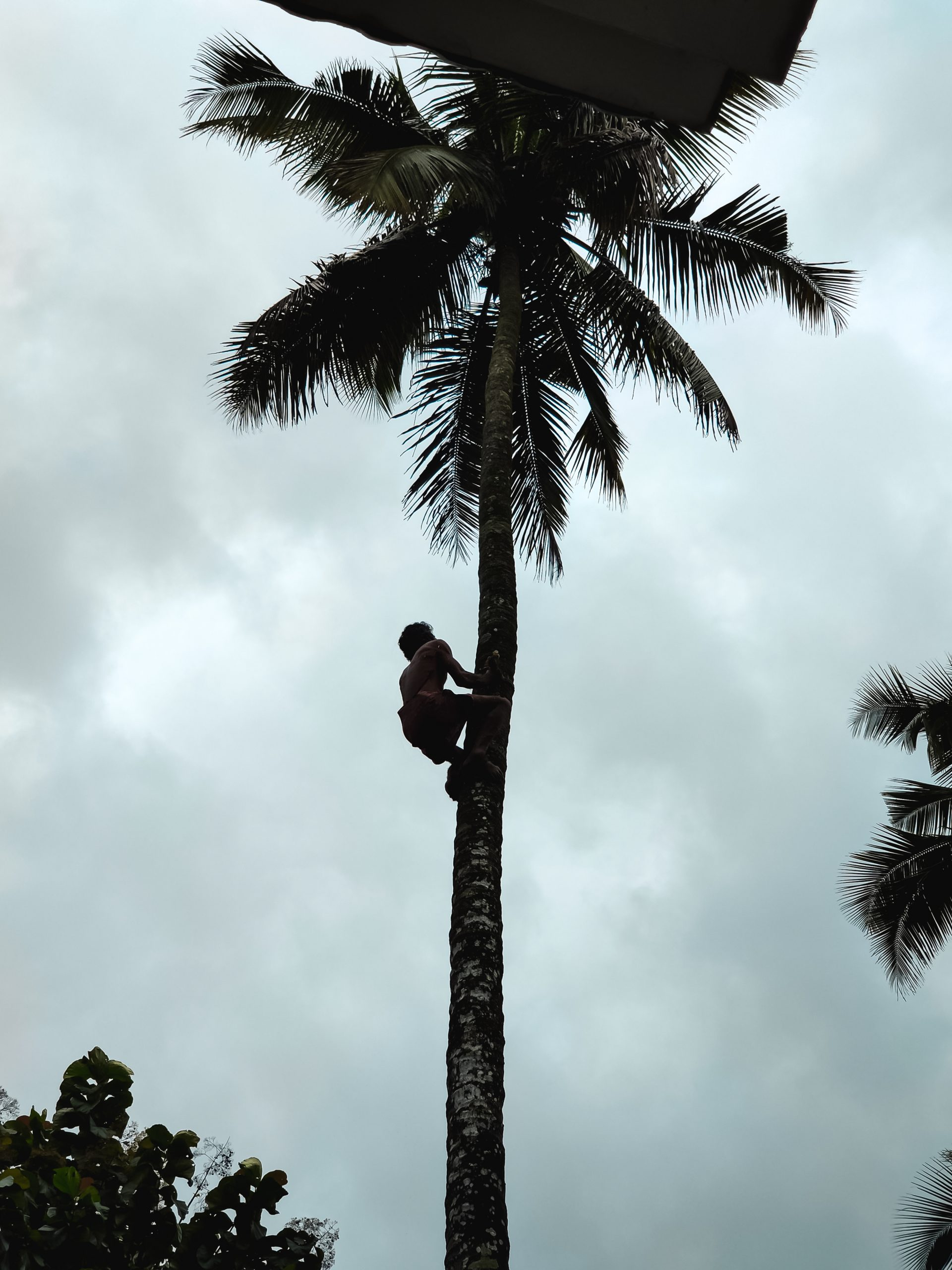 A man climbing a tree for fruits