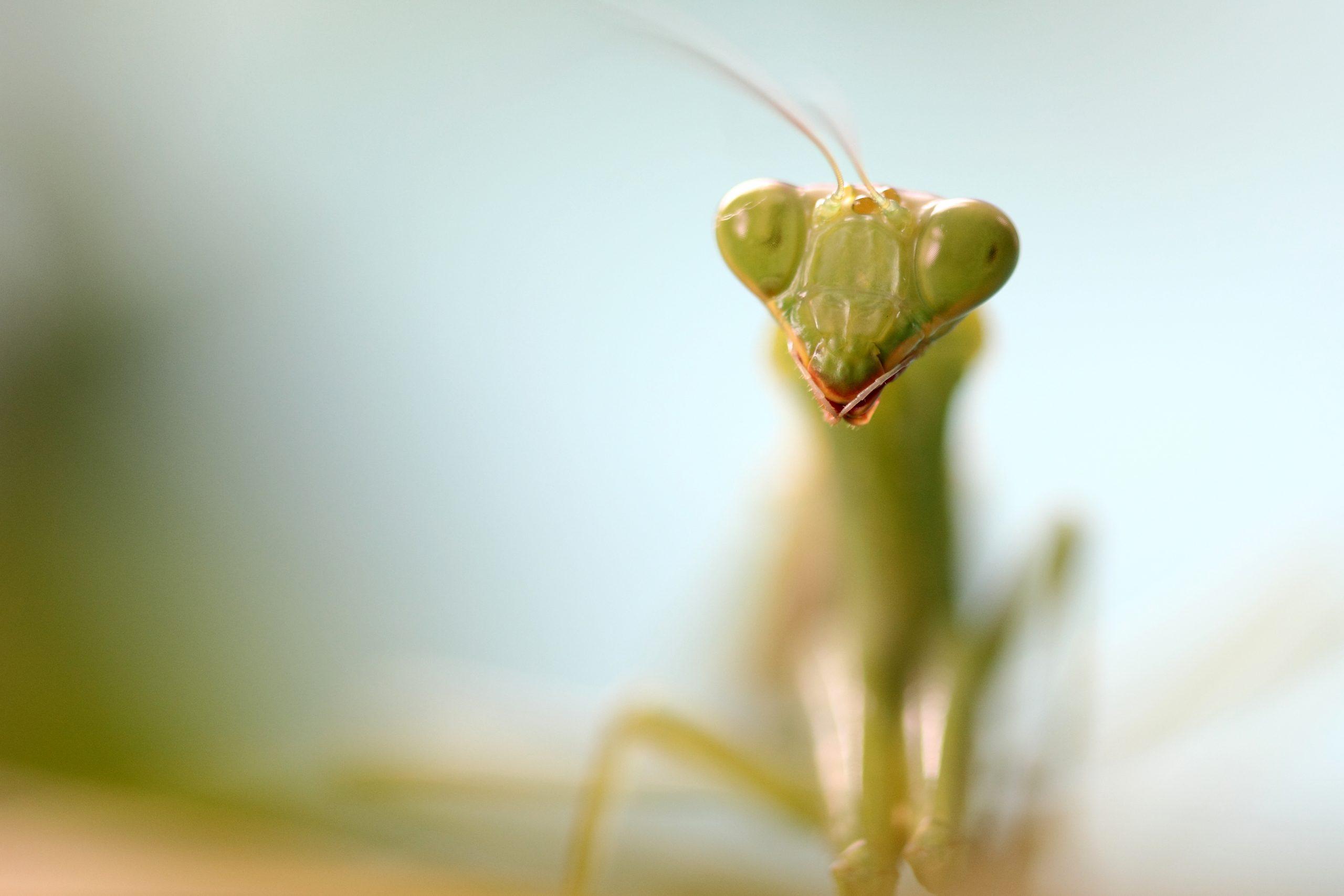Mantidae on Focus