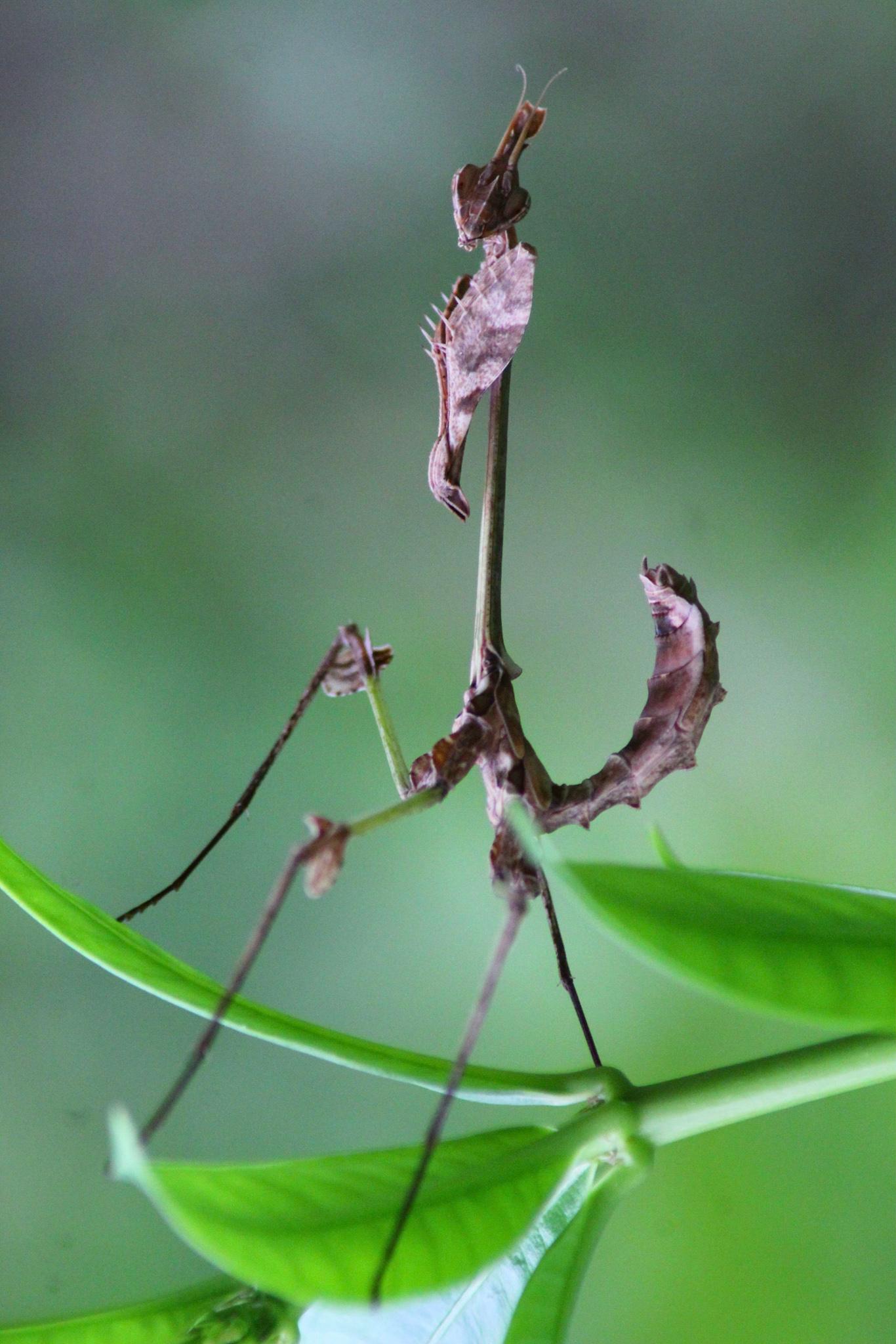 Mantis on Focus