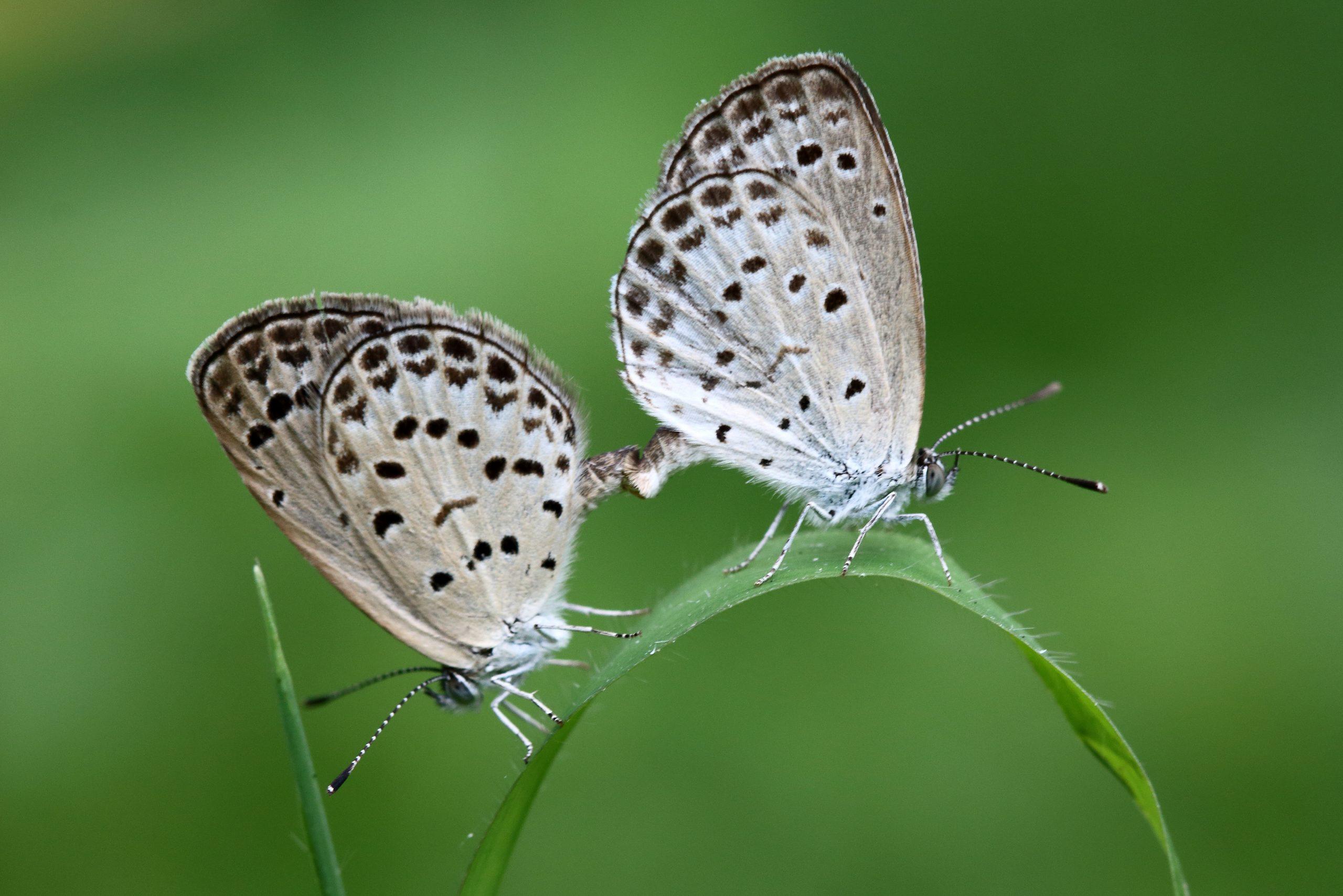 Mating Plebejus Butterflies