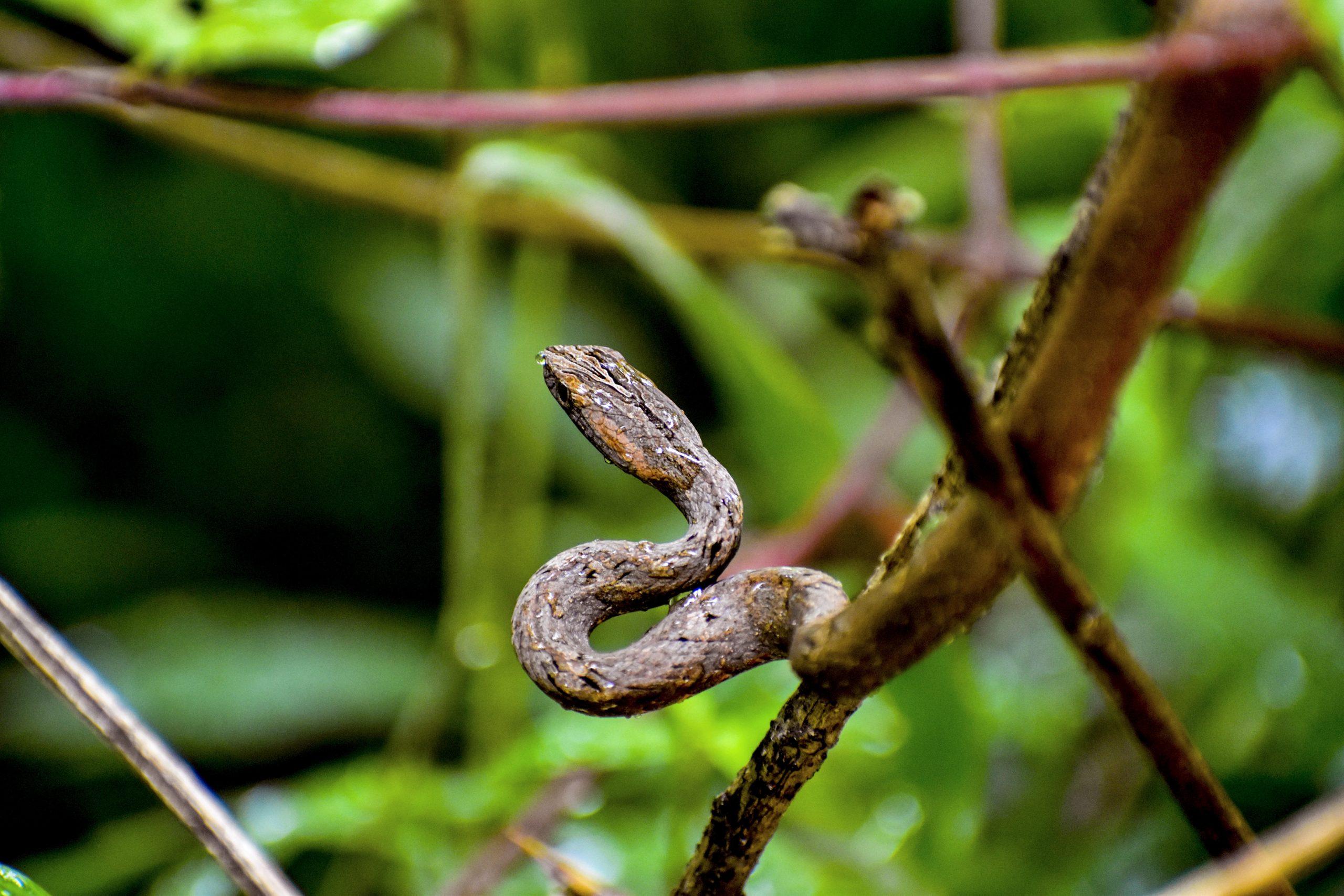 Mock Viper Snake Mild Venomous