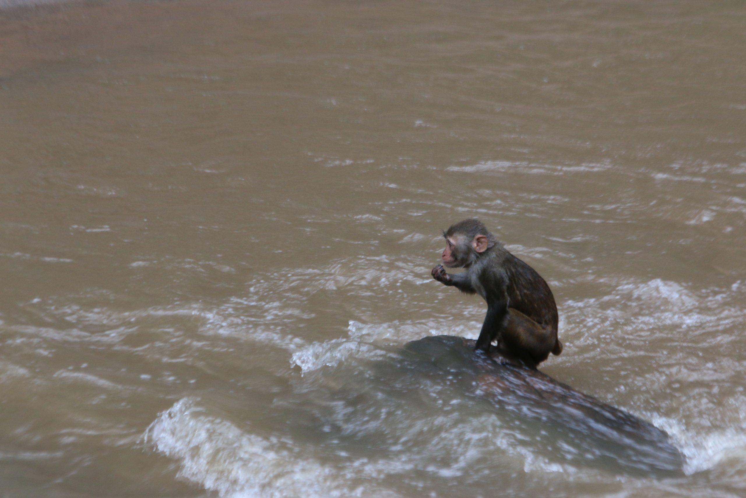 Monkey in River