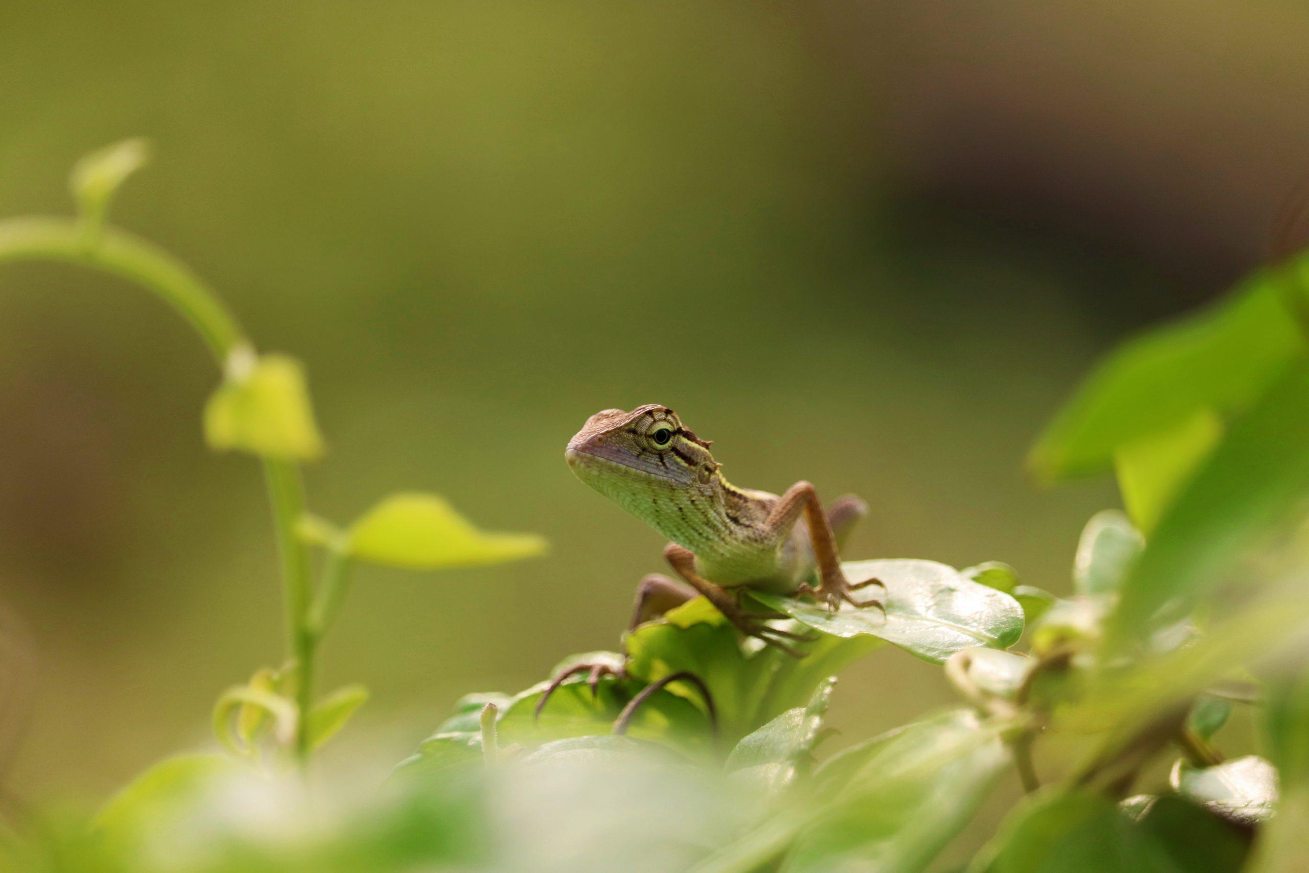 Oriental garden lizard on a leaf