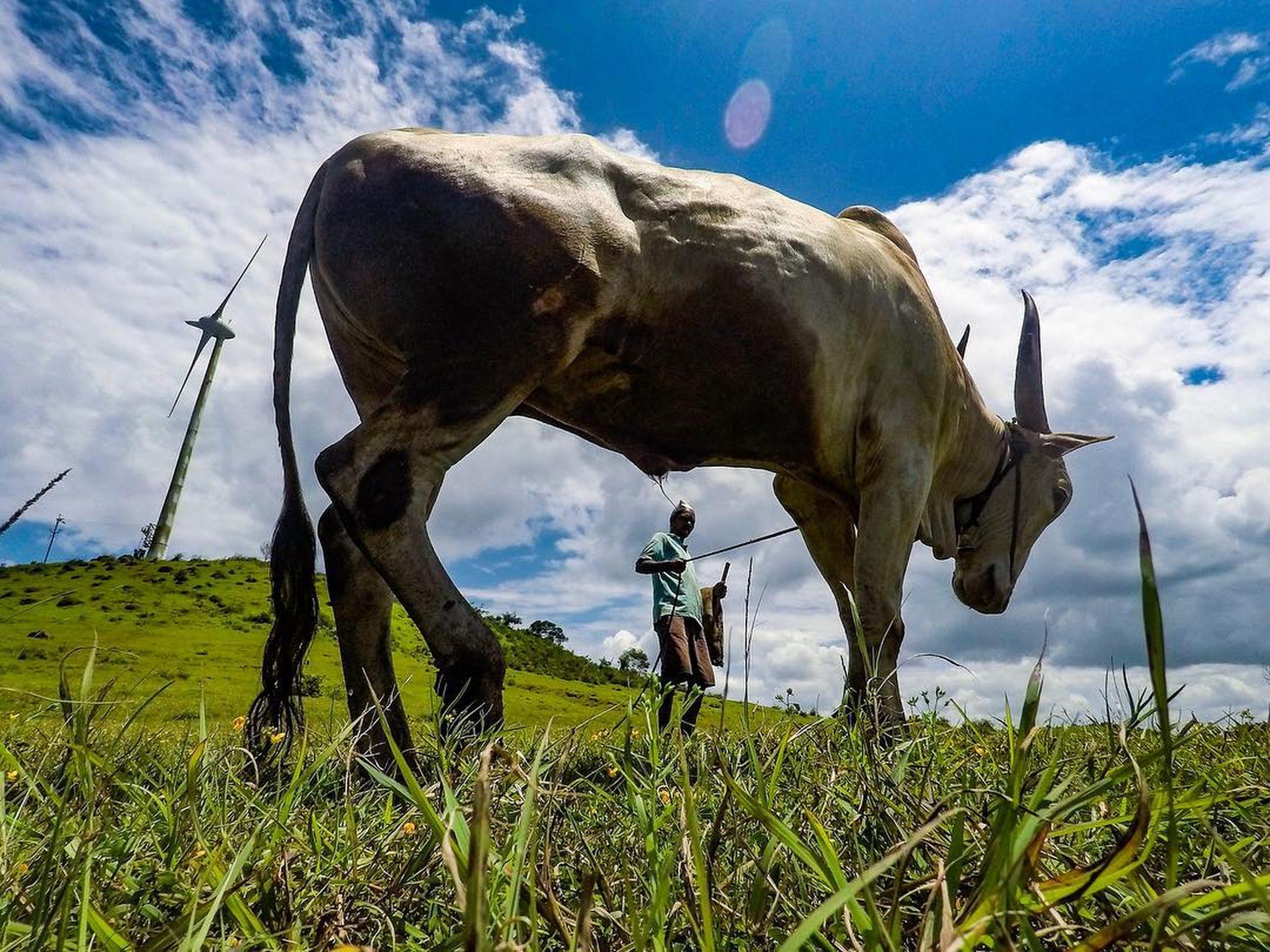 Ox working in field
