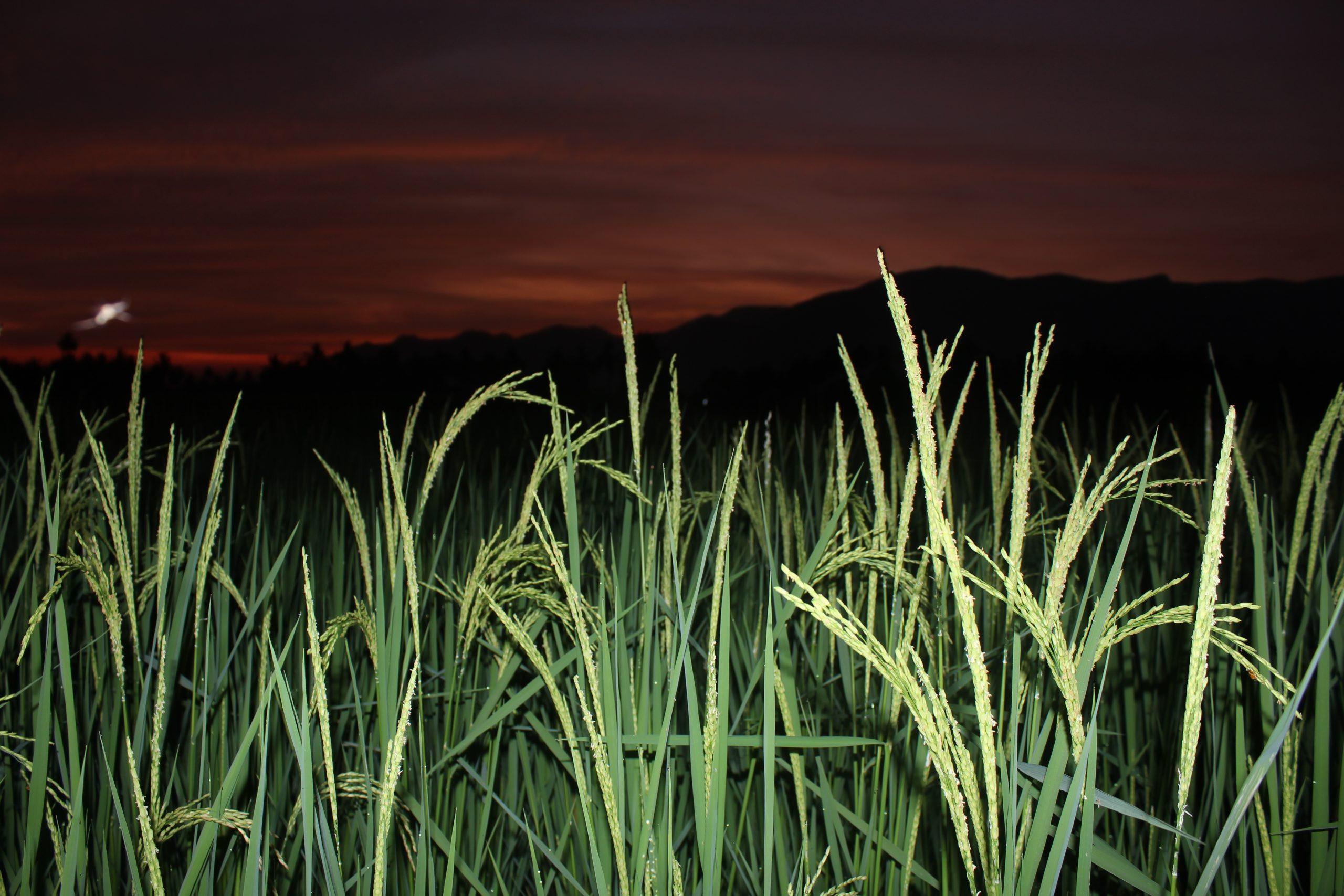 Paddy Field at night