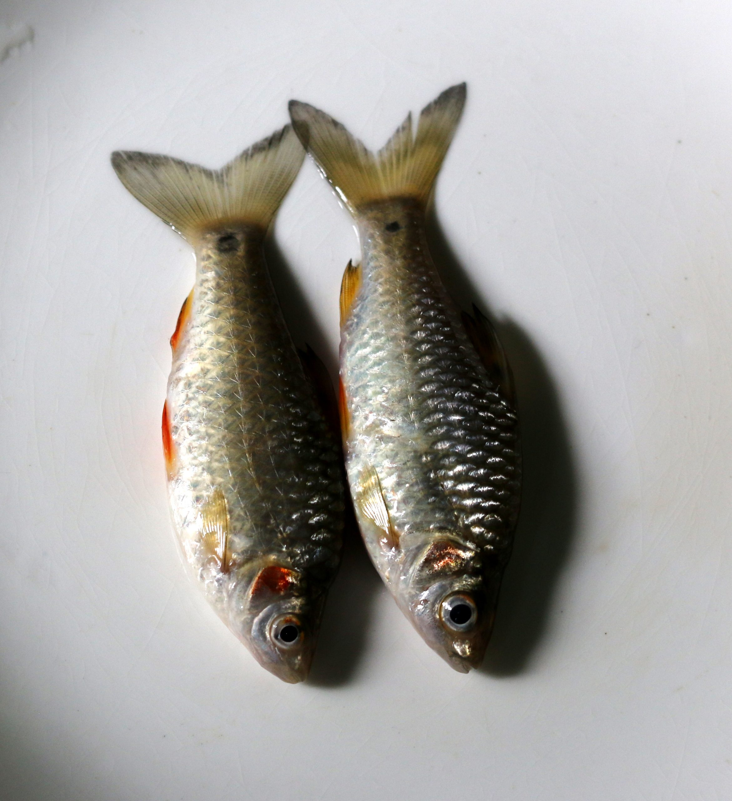 Pair of Fish in the Plate on Focus