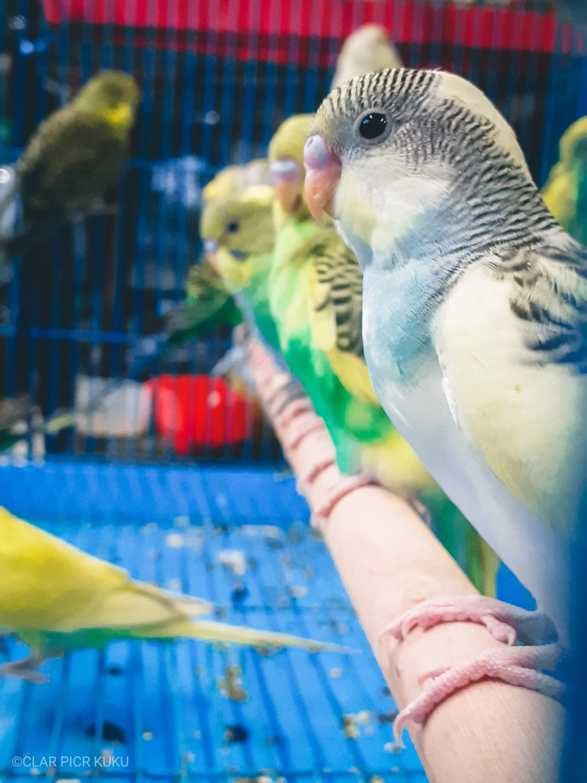 Parrots in a cage