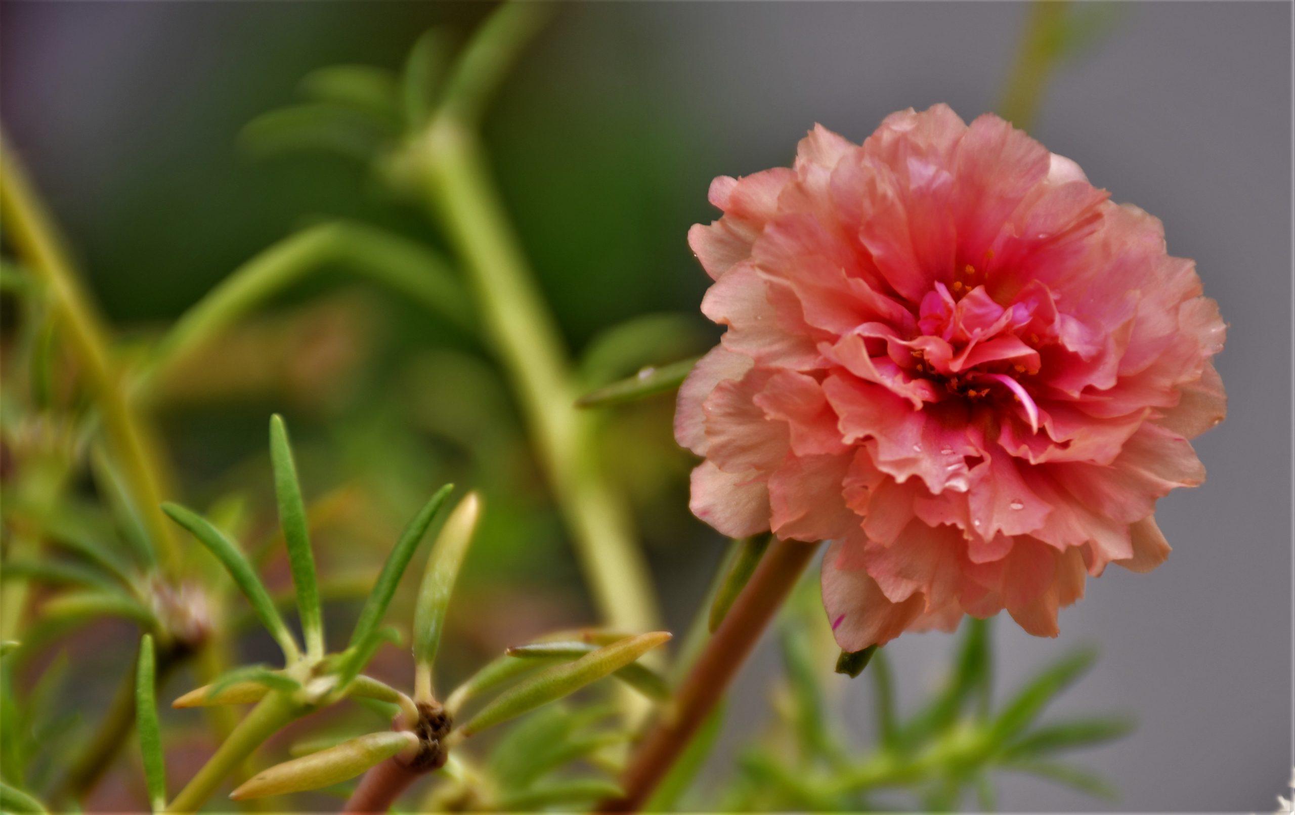 Peach colored Portulaca Grandiflora flower