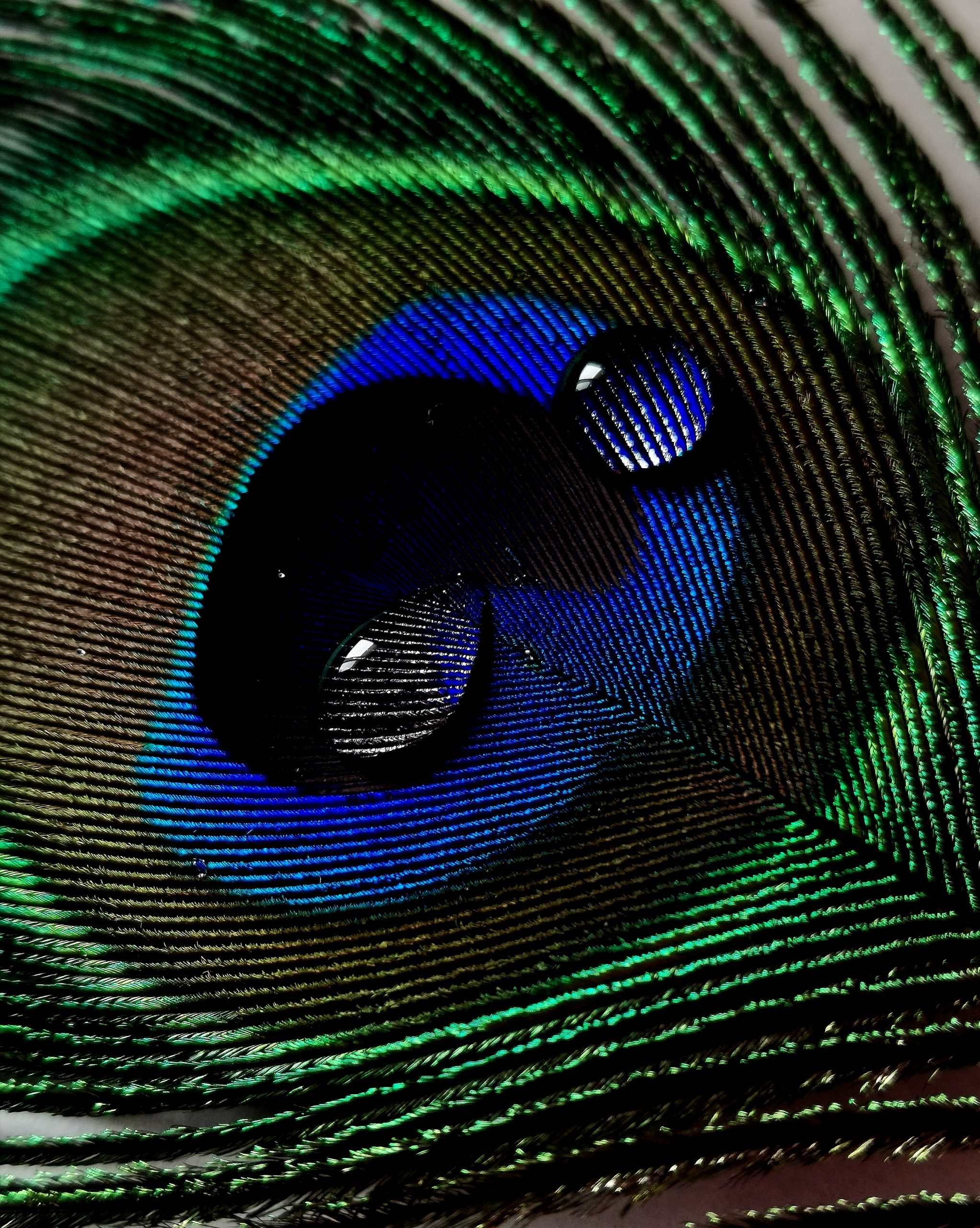 Peacock feather with fresh water droplets