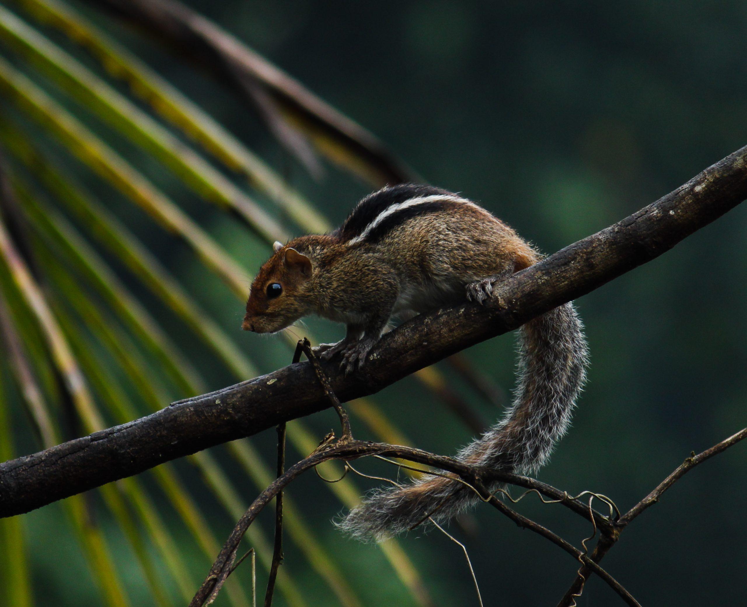 Peaking Squirrel