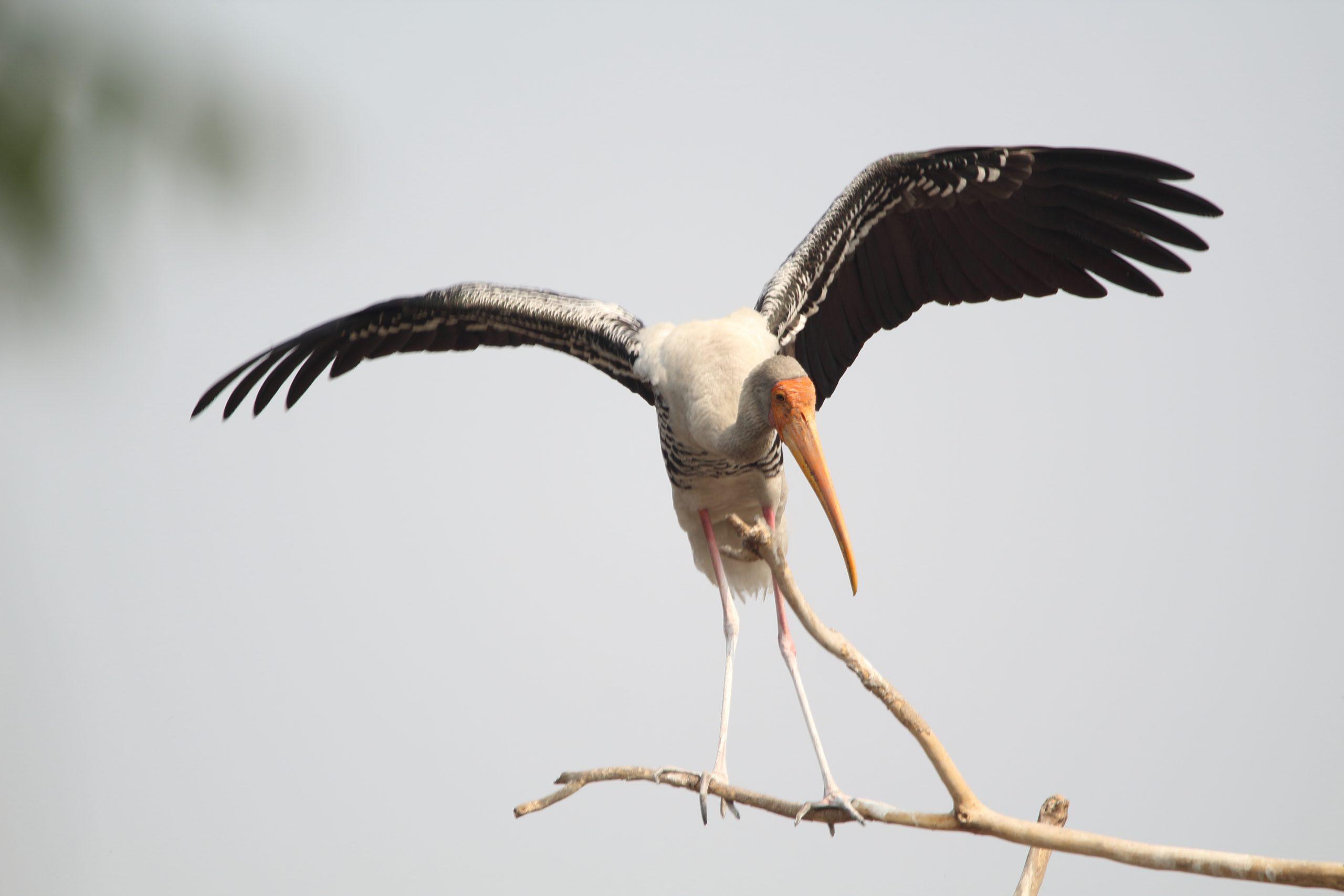 Perching Stork