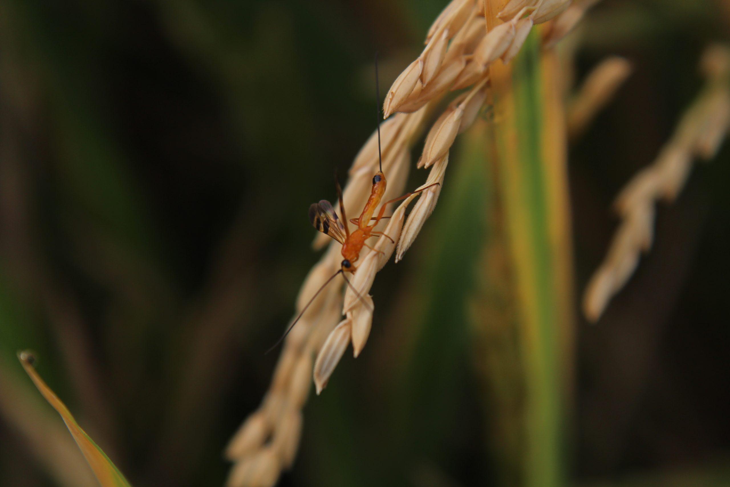 Pest on Rice Plant