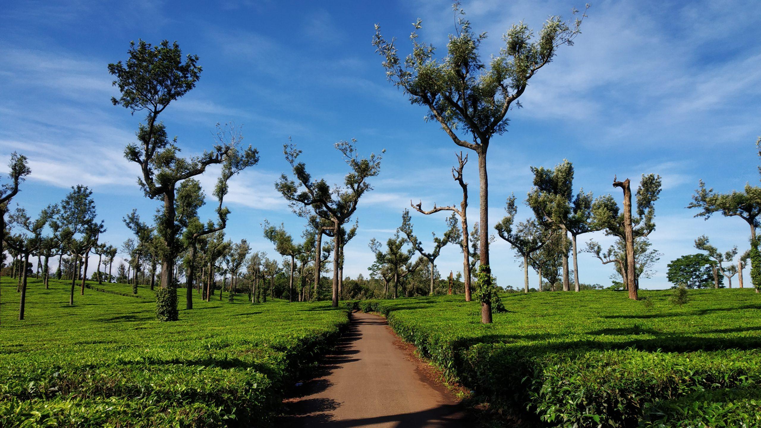 Beautiful poopara tea plantation