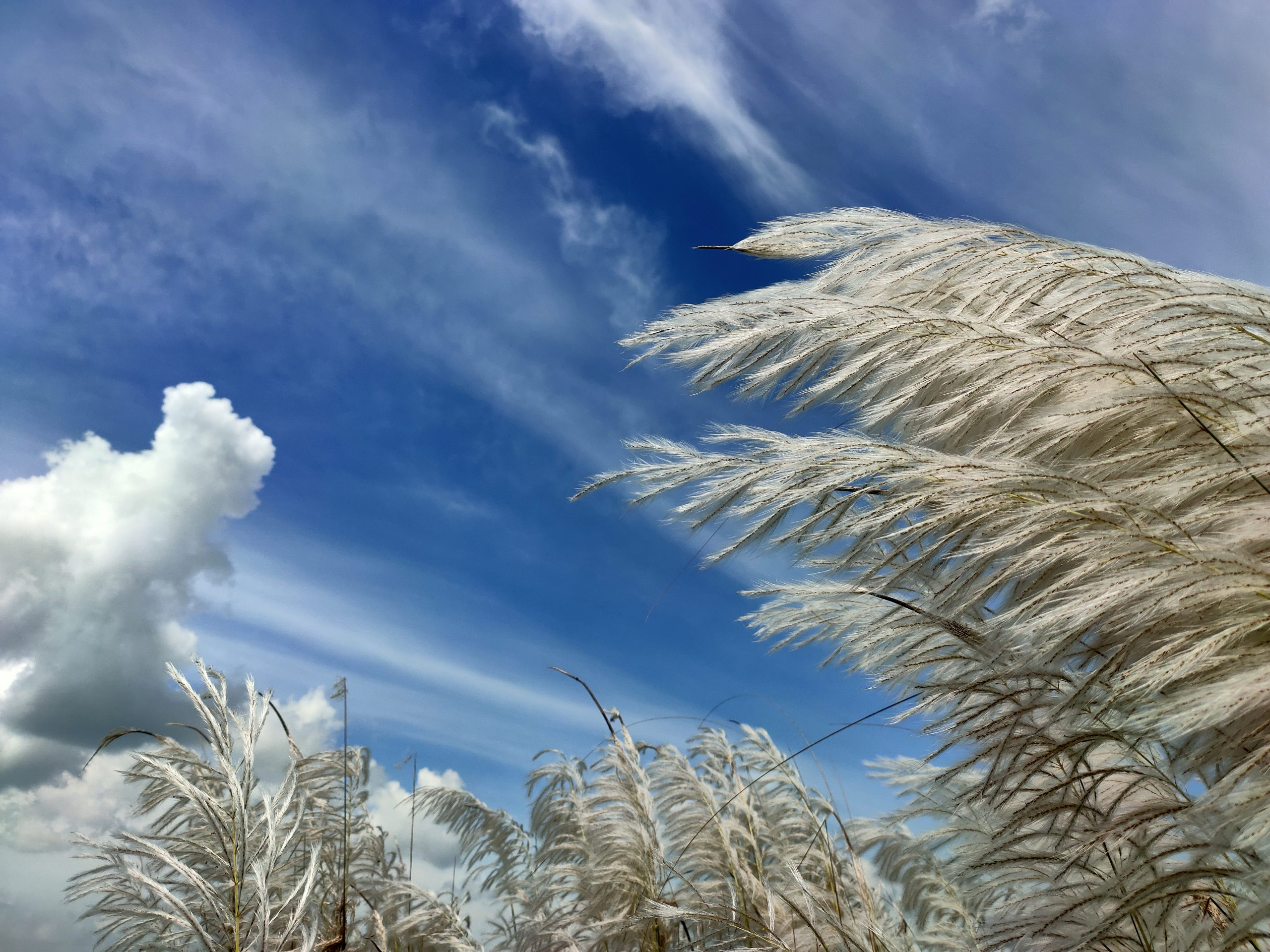 Phragmites Grass and a Cloudy Sky