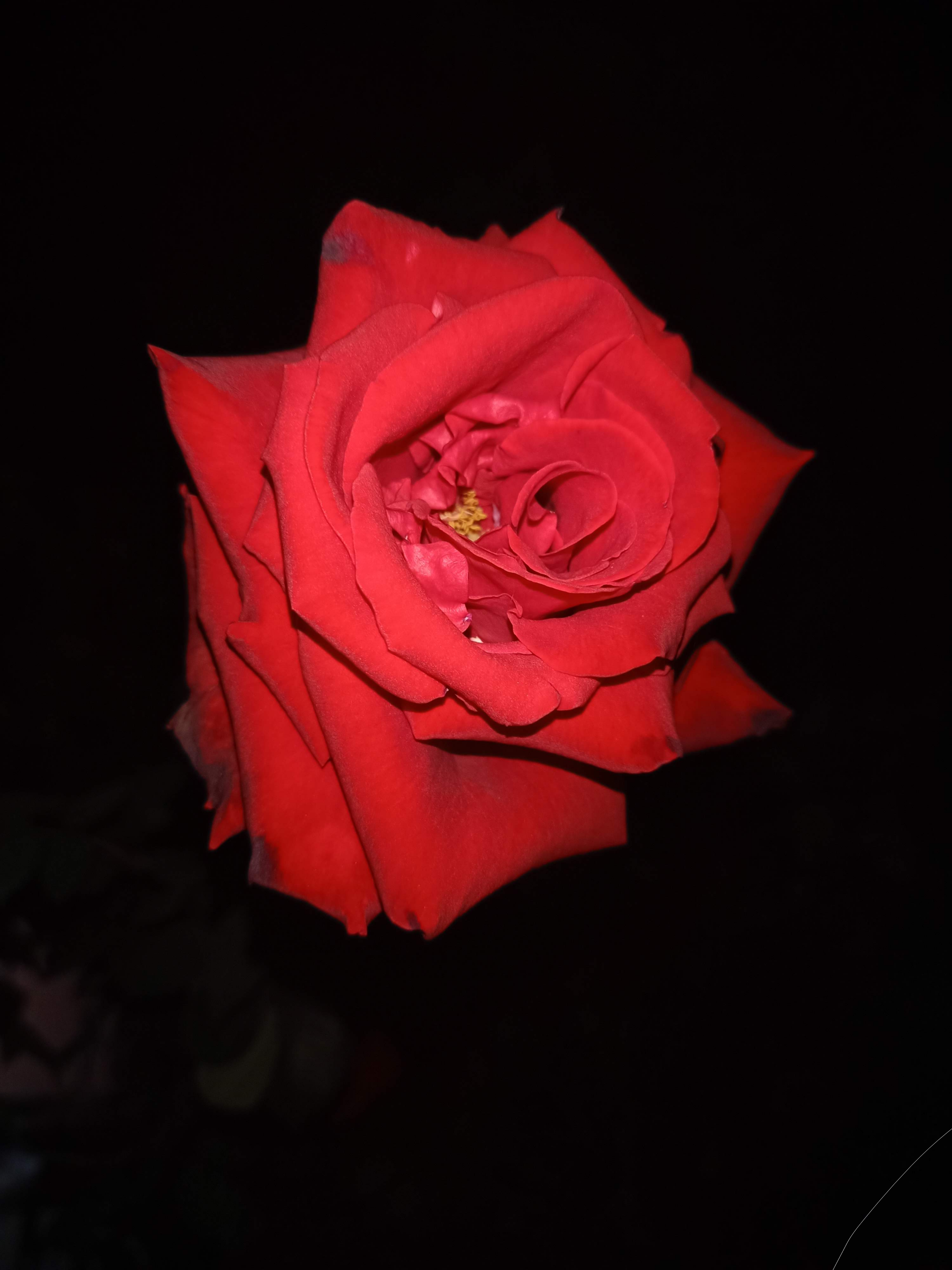 Red rose on Focus