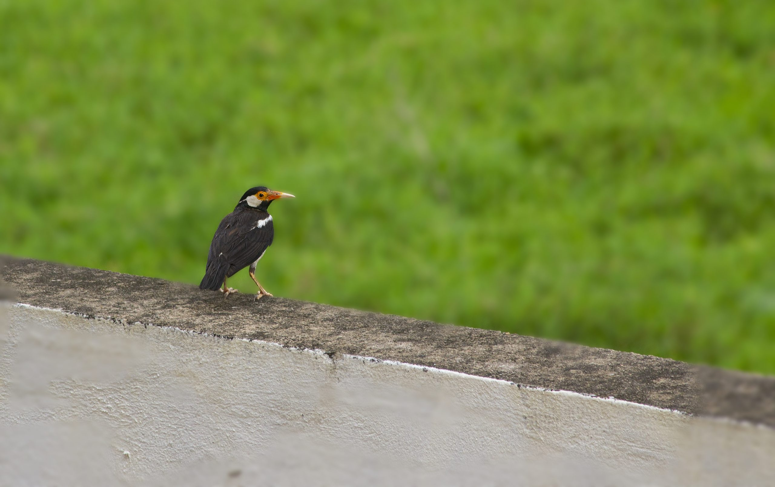 pied myna bird