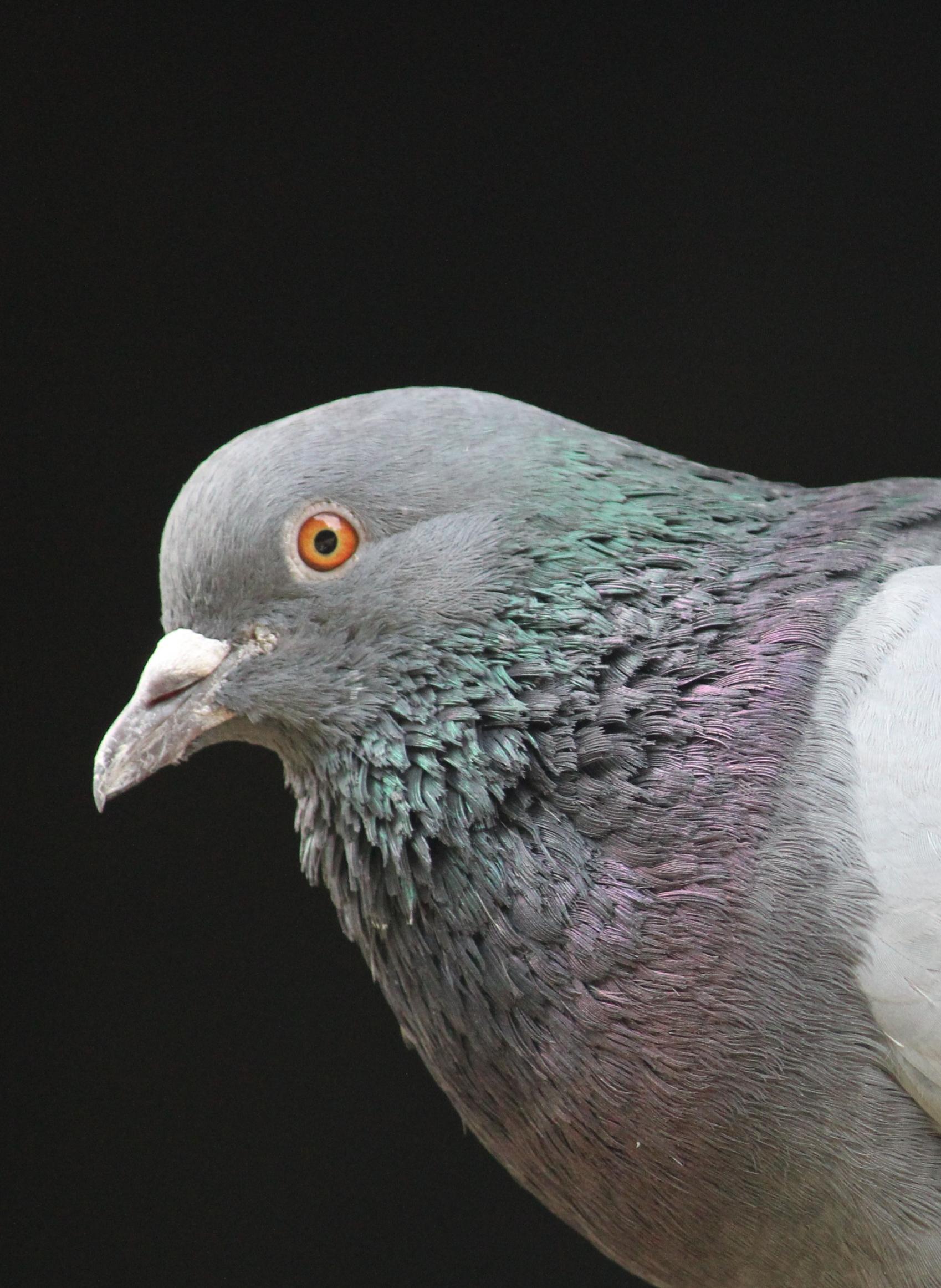 Pigeon's Head on Close-up