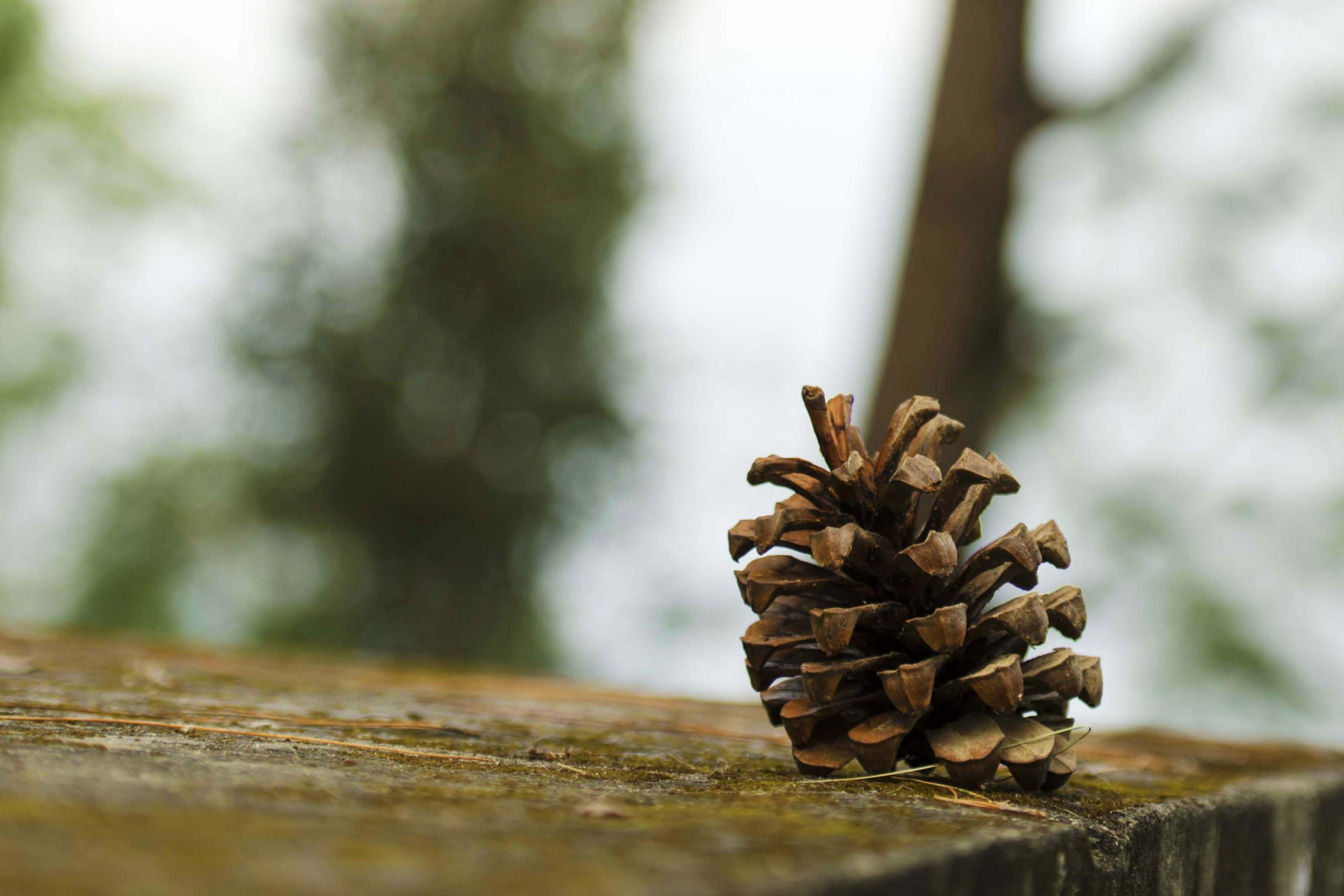 Conifer cone on Focus