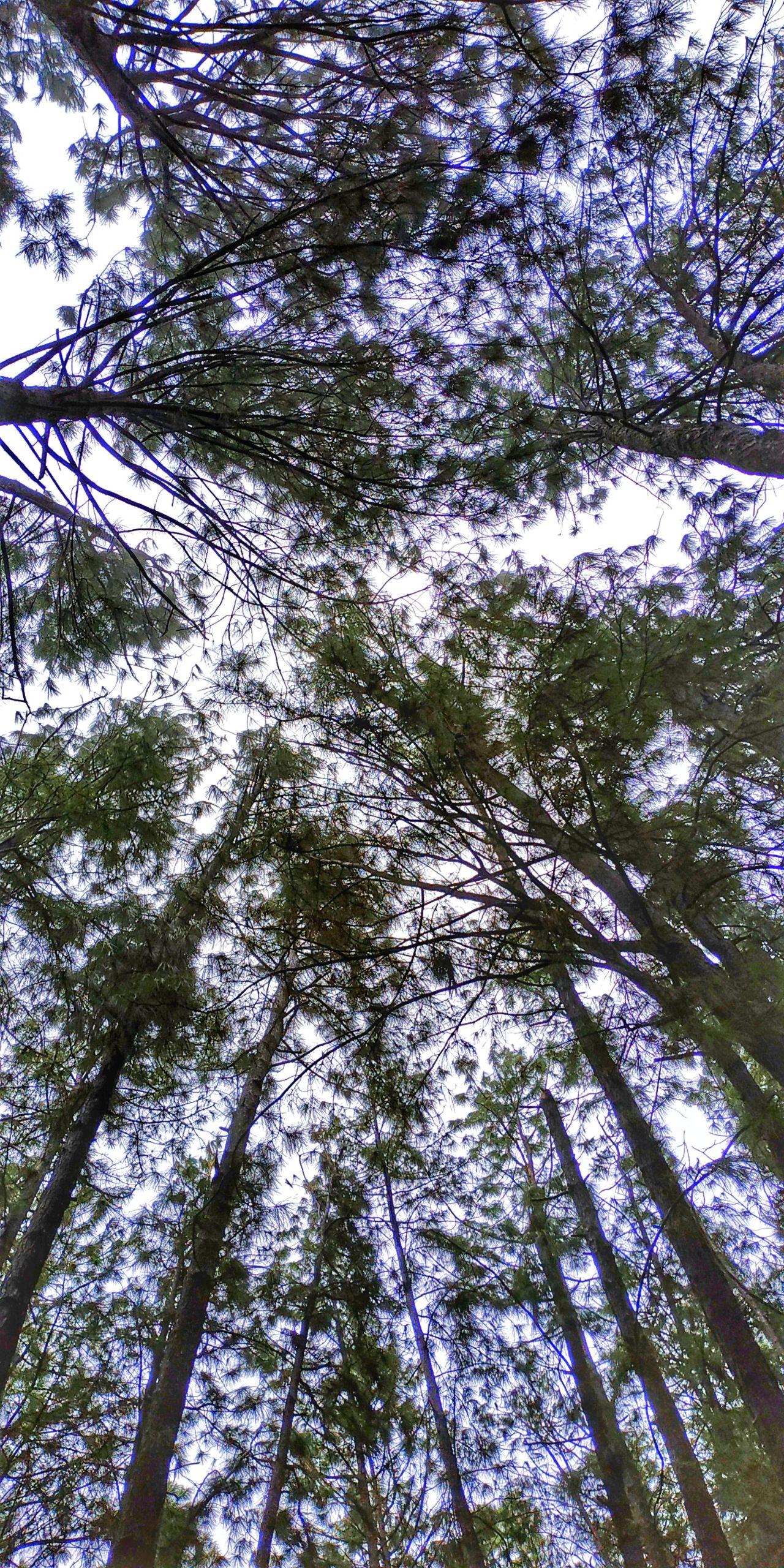 Pine trees jungle