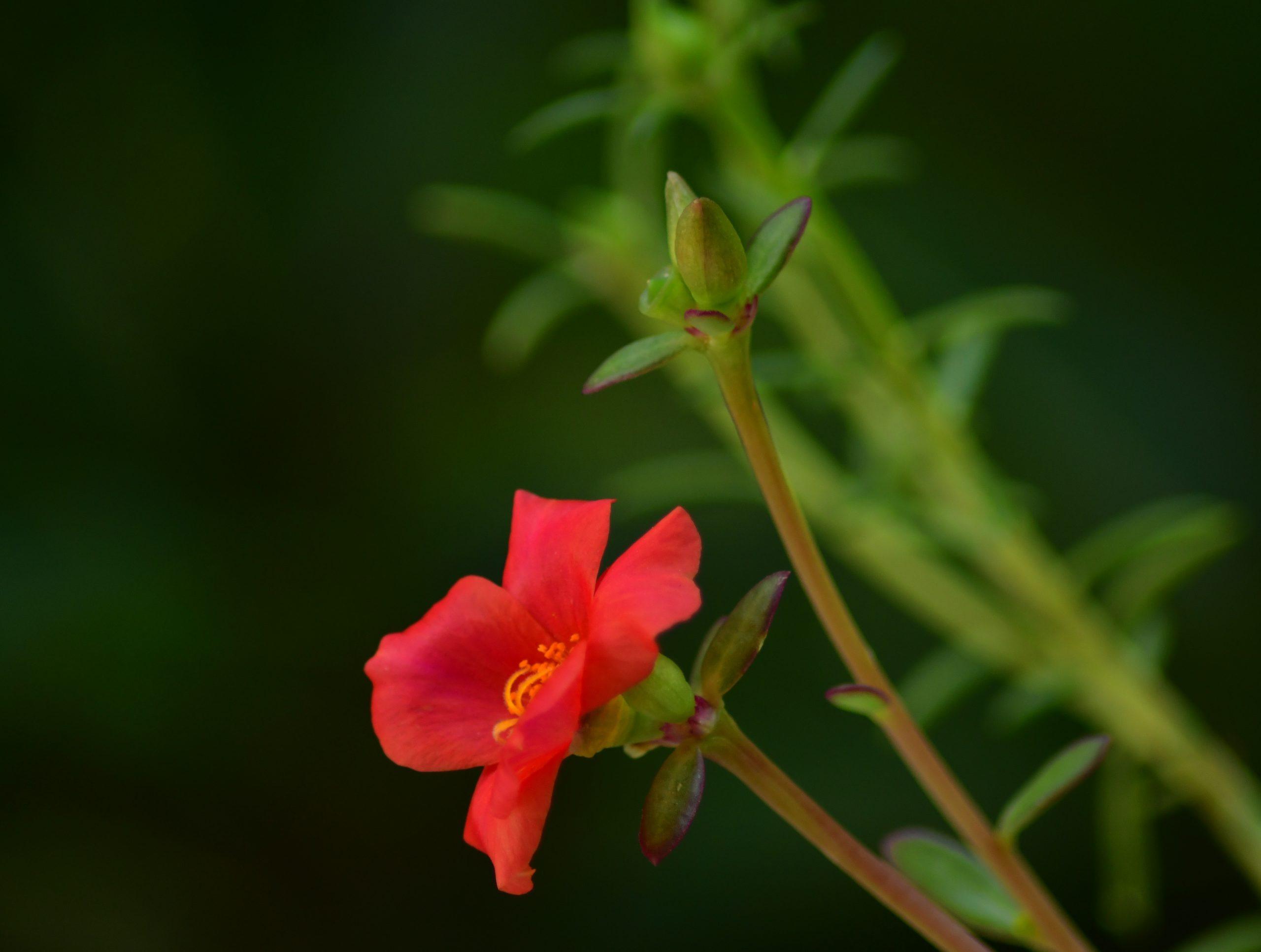pink portulaca flower