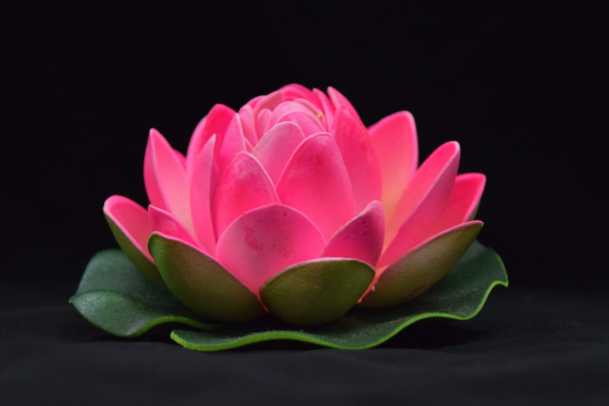 Pink Sacred lotus on focus