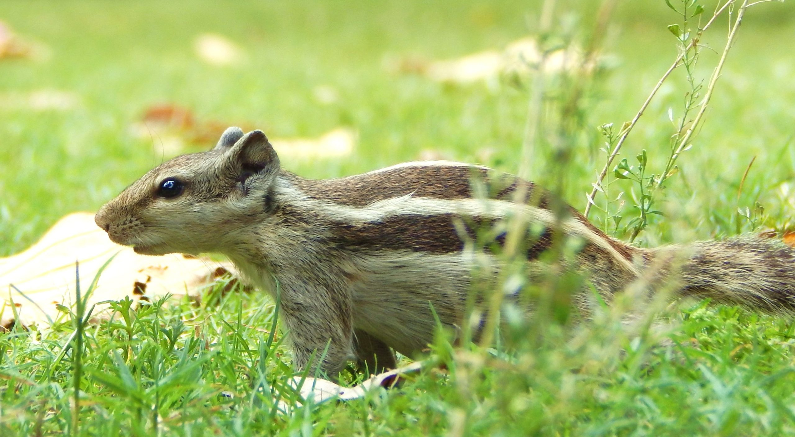 A squirrel playing in the grass
