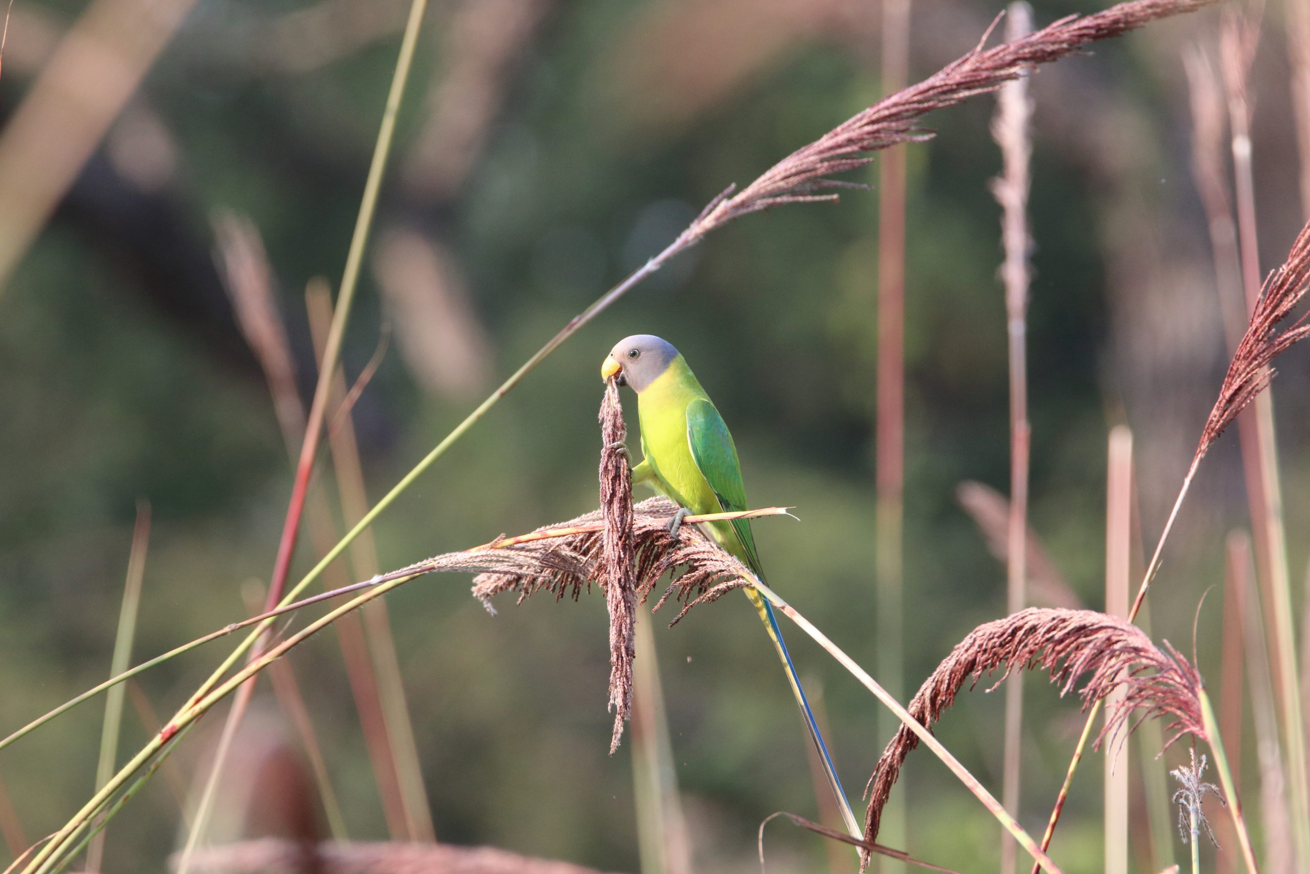 Plum-headed parakeet in reeds holding grass in beak