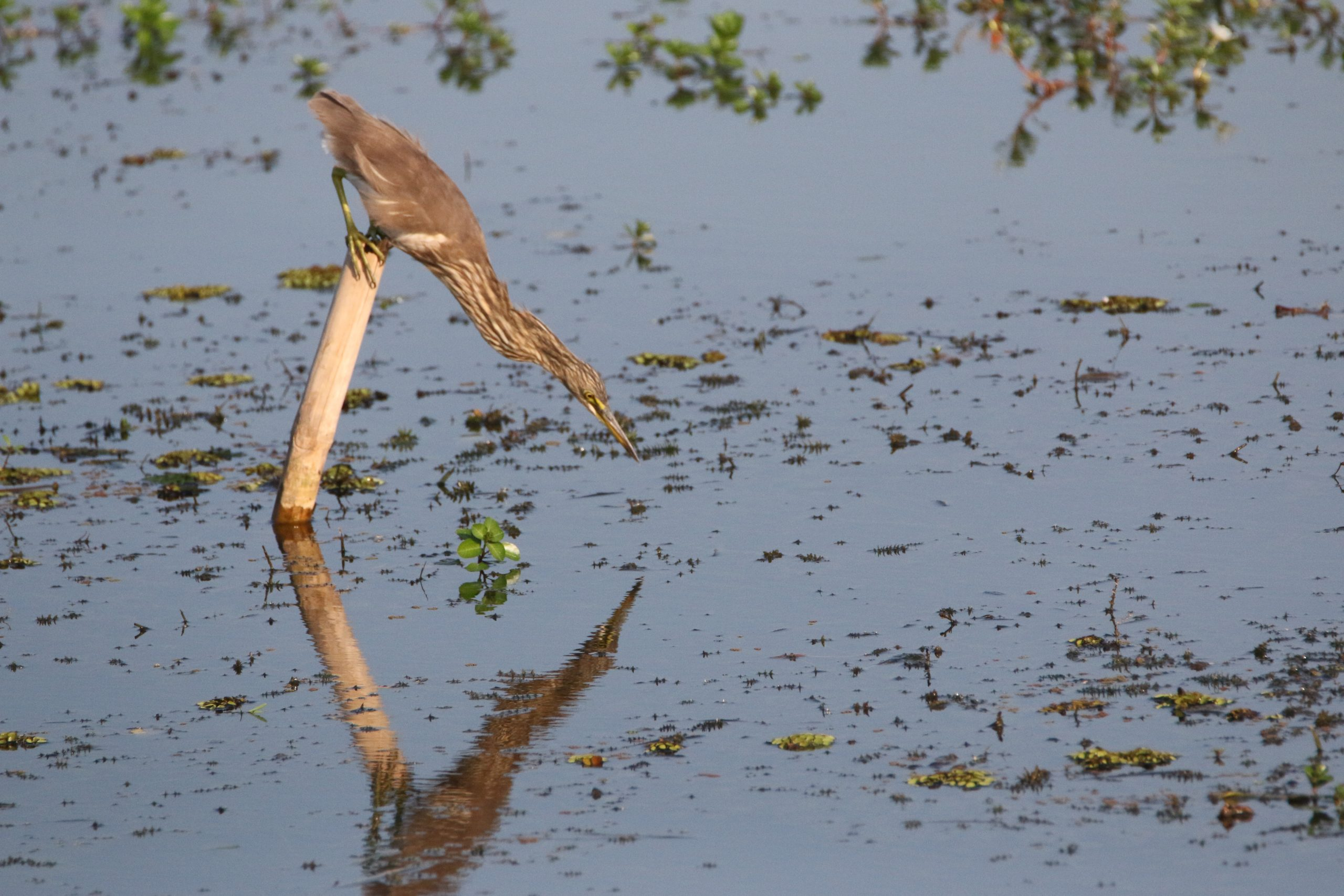Pond Heron preparing to catch a fish in the pond