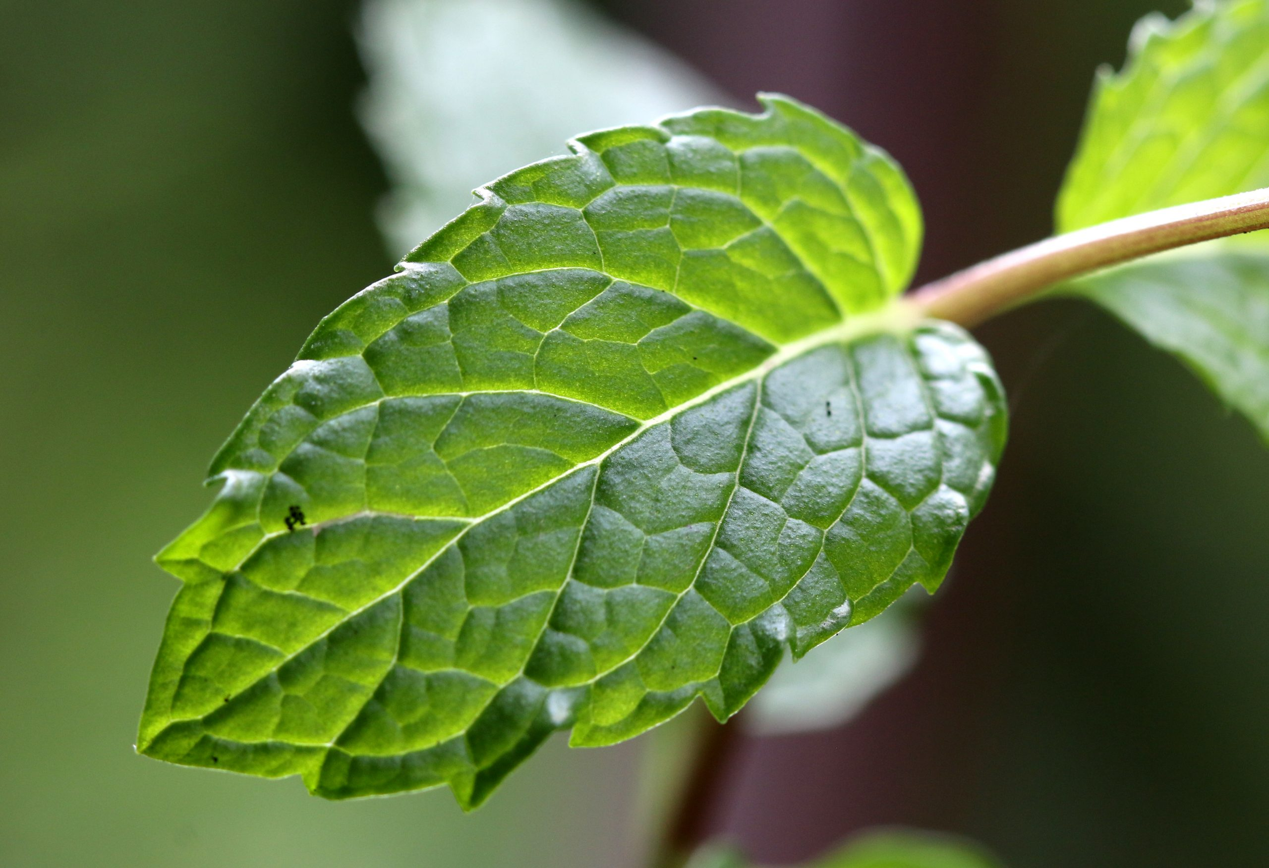 mint leaf close-up