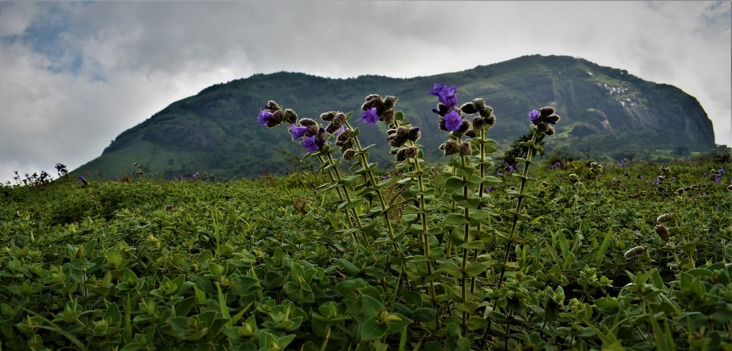 Pulmonoria Plant