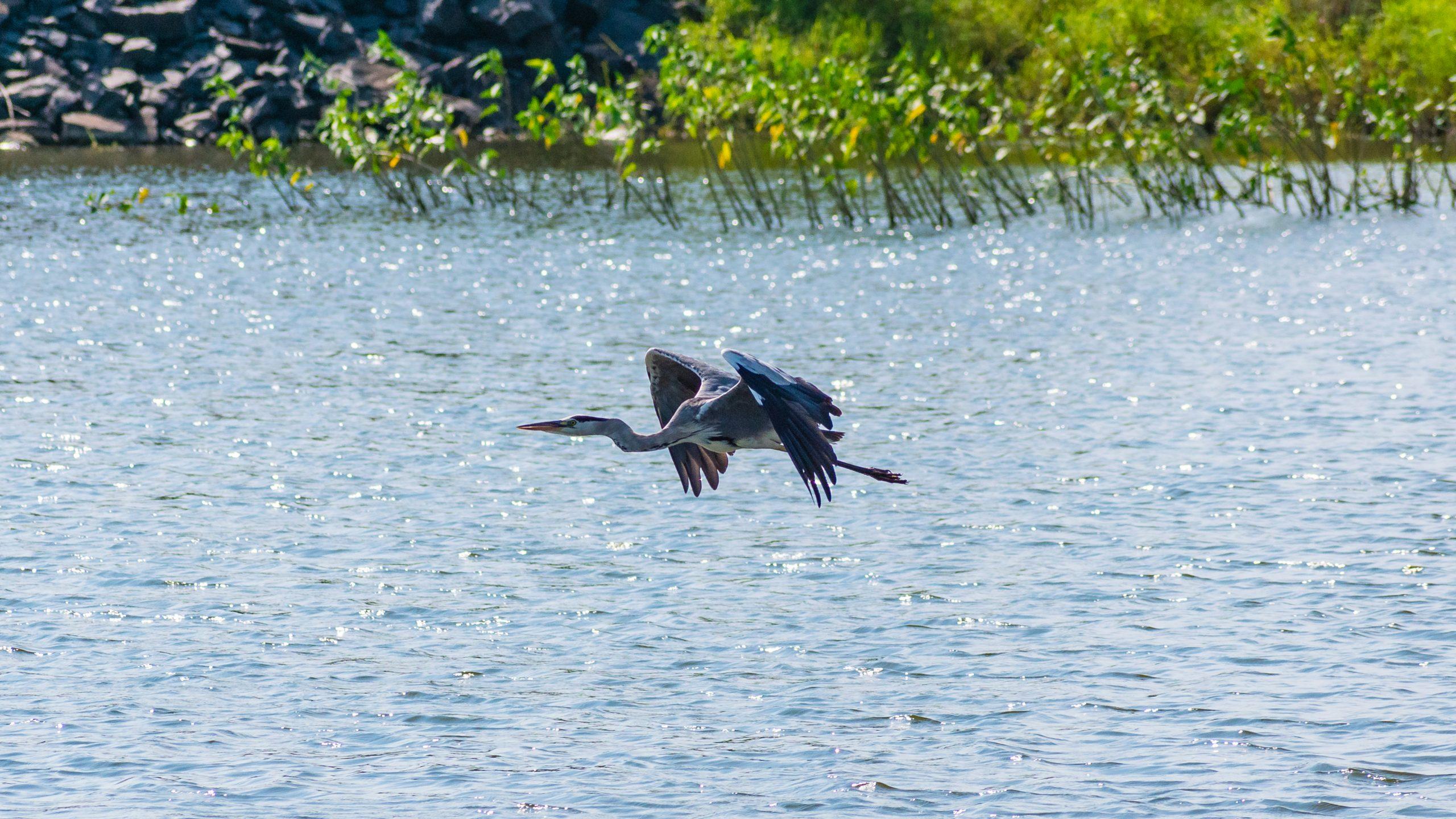heron flying over a lake