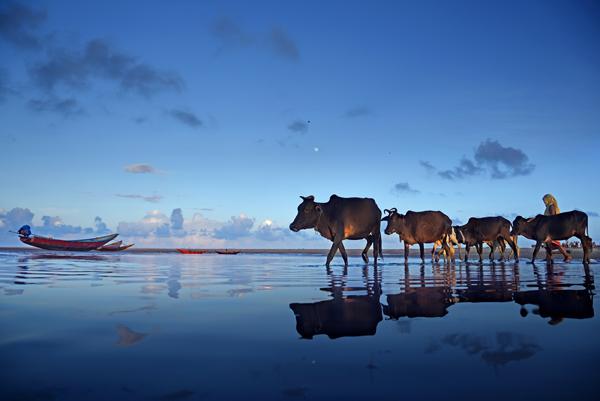 Cows passing through Talasari Beach
