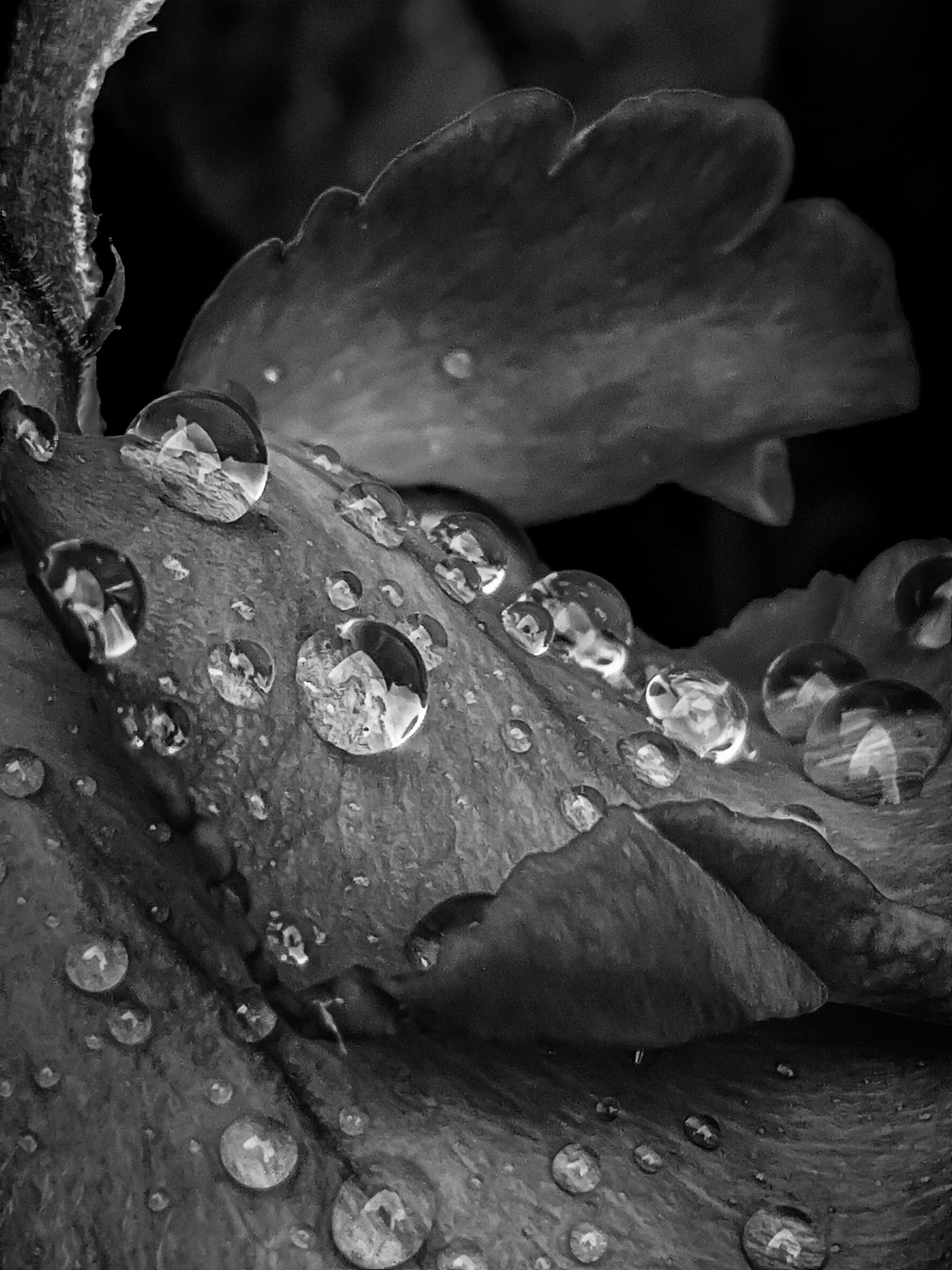 Rain droplets on Flower