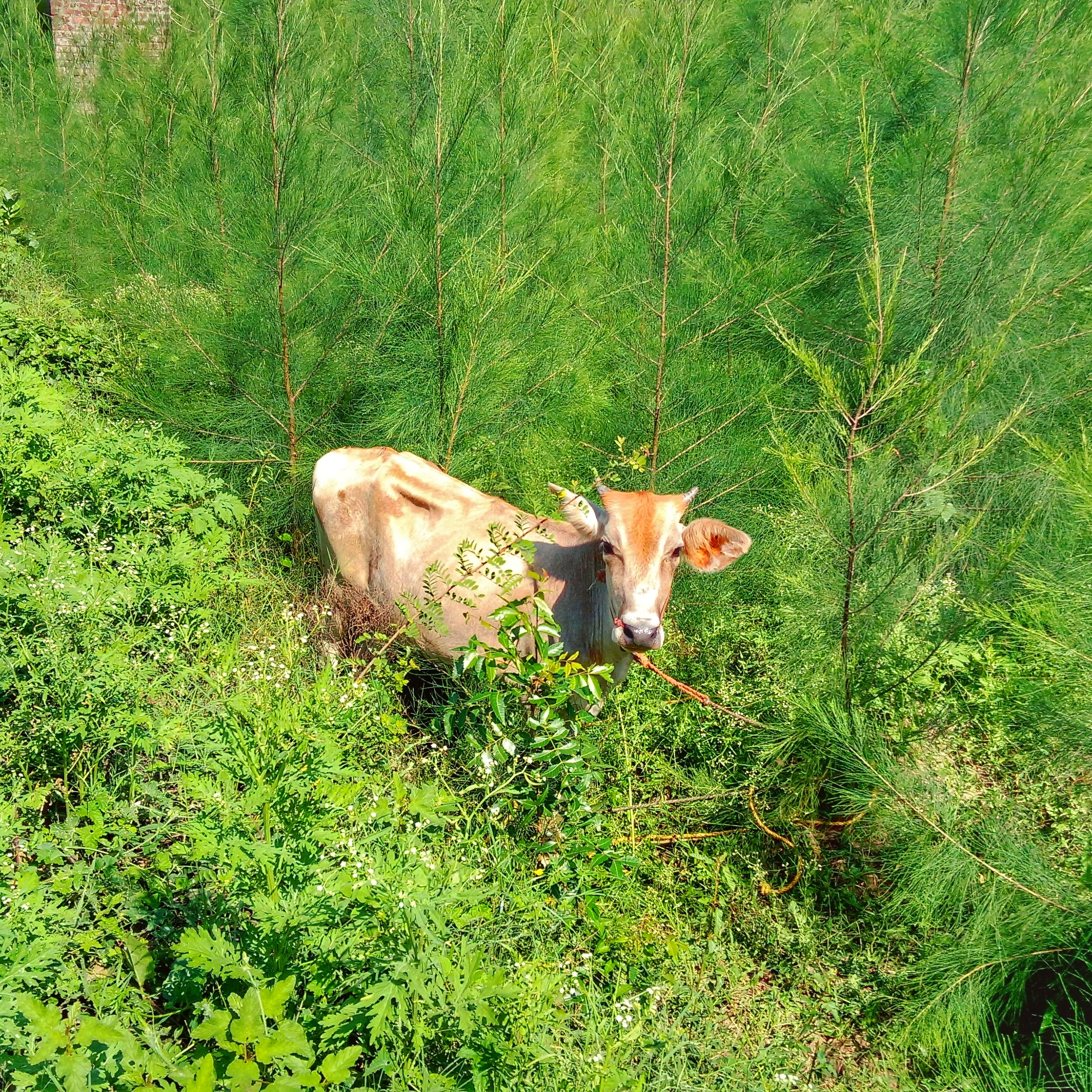 Cow surrounded with lush foliage