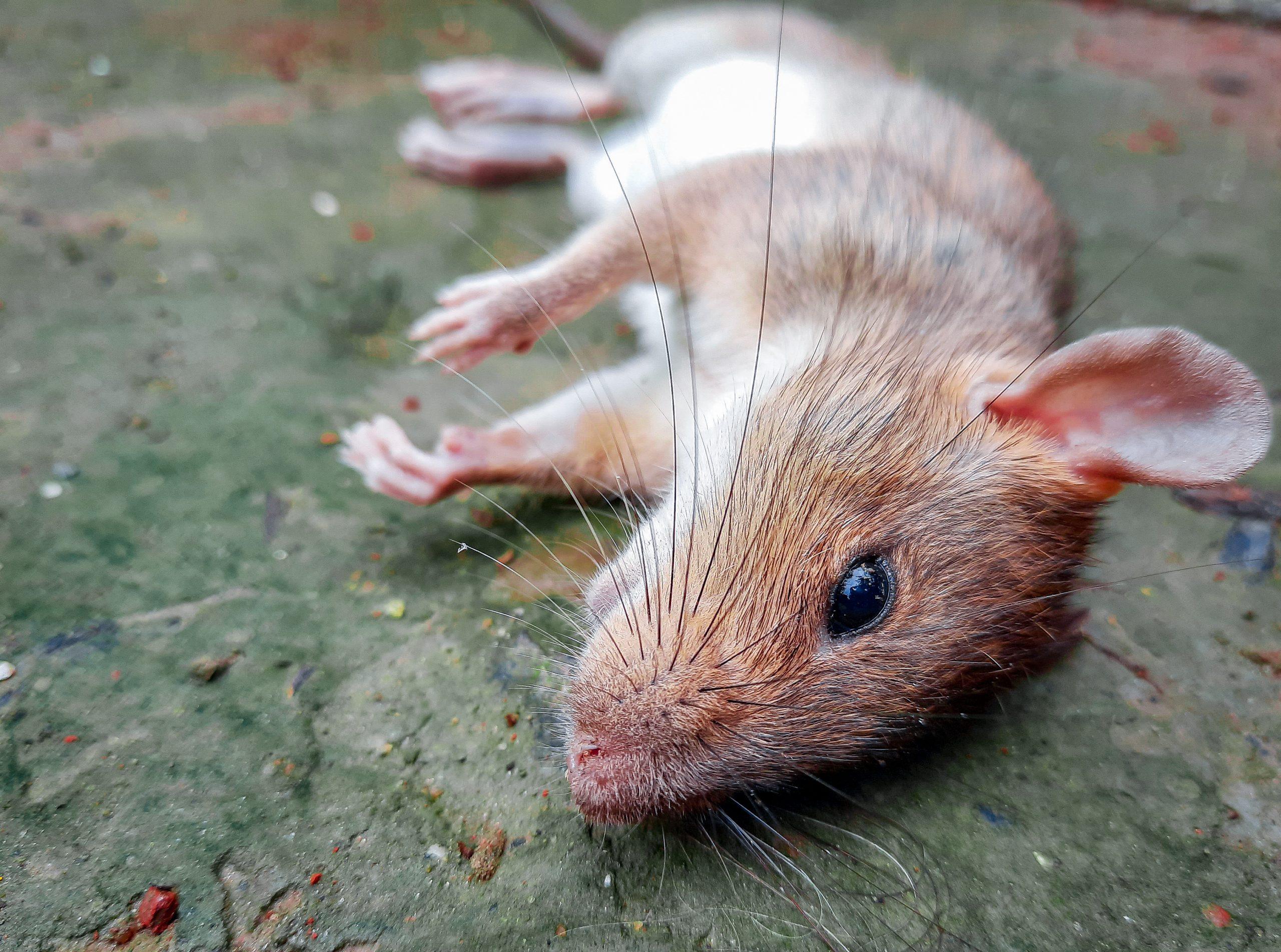 Rat on Focus