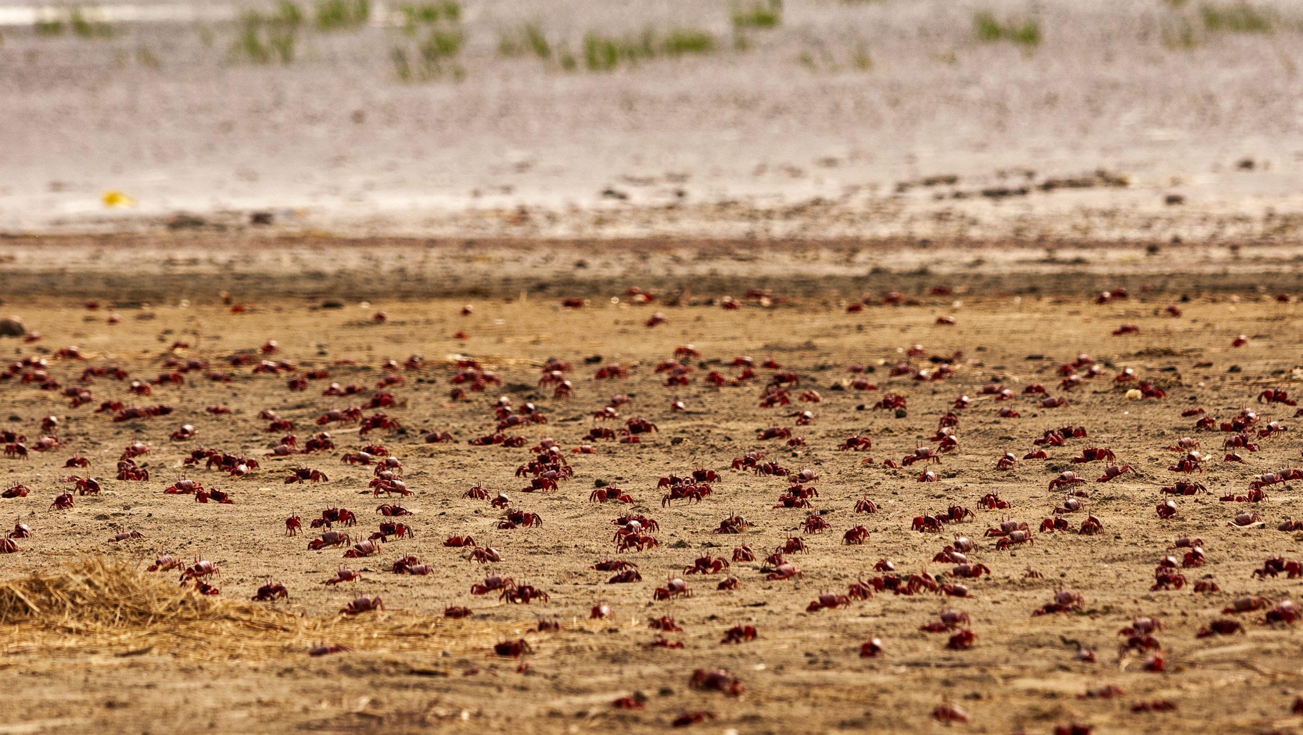 Red Crabs at Tajpur