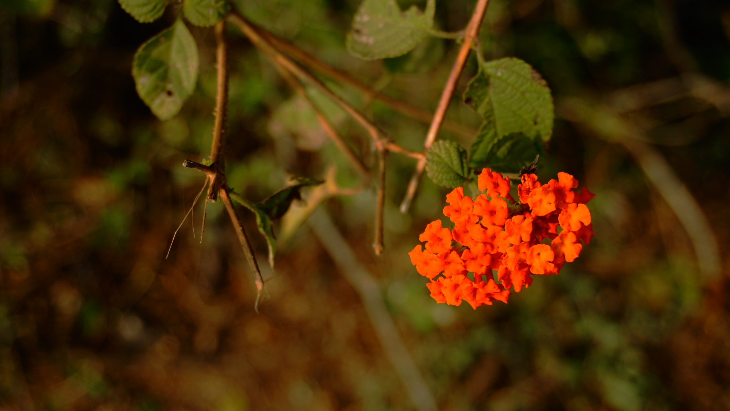 Red Lantana Camara Flowers