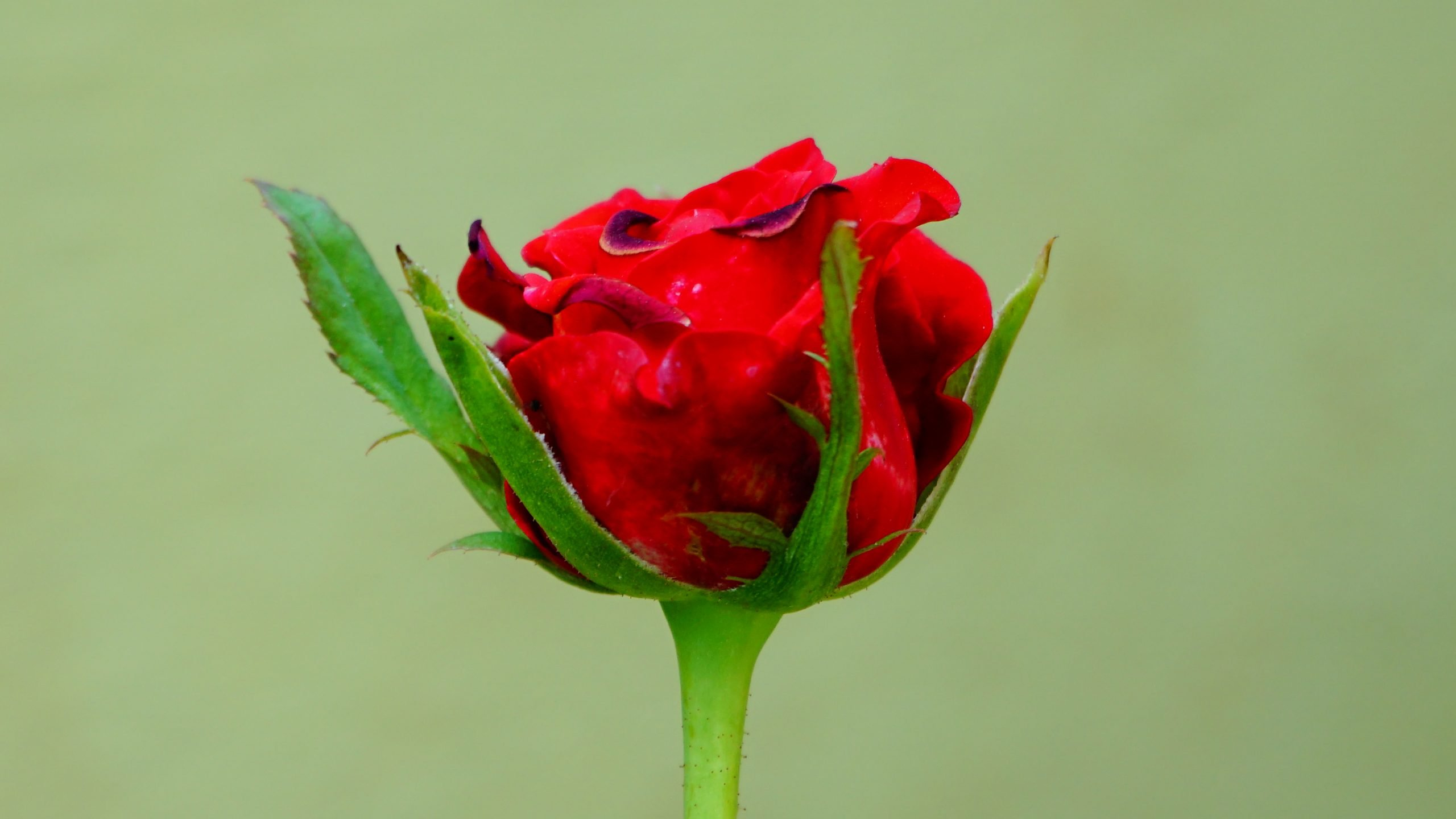 Red rose on green background